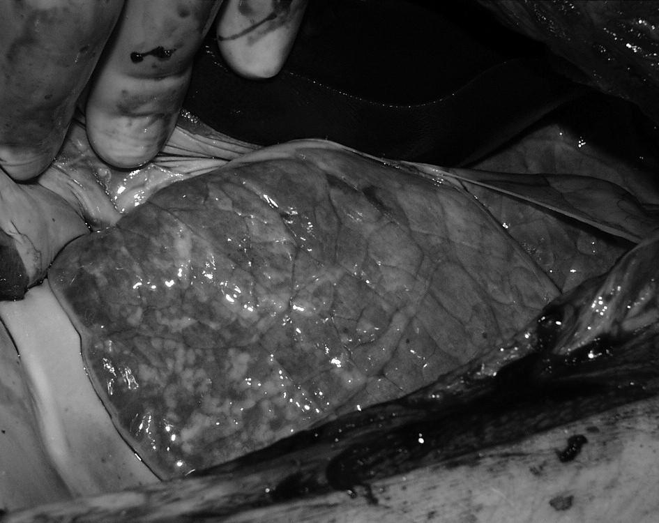 Obr. 3. Plíce selete skupiny C z torakotomie. Fig. 3. The piglet lung of group C from thoracotomy.