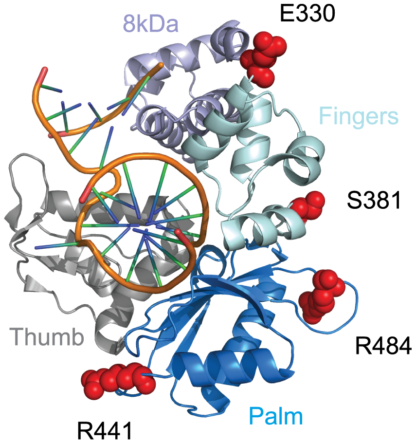 Residues under positive selection in Polλ fall on the protein surface.