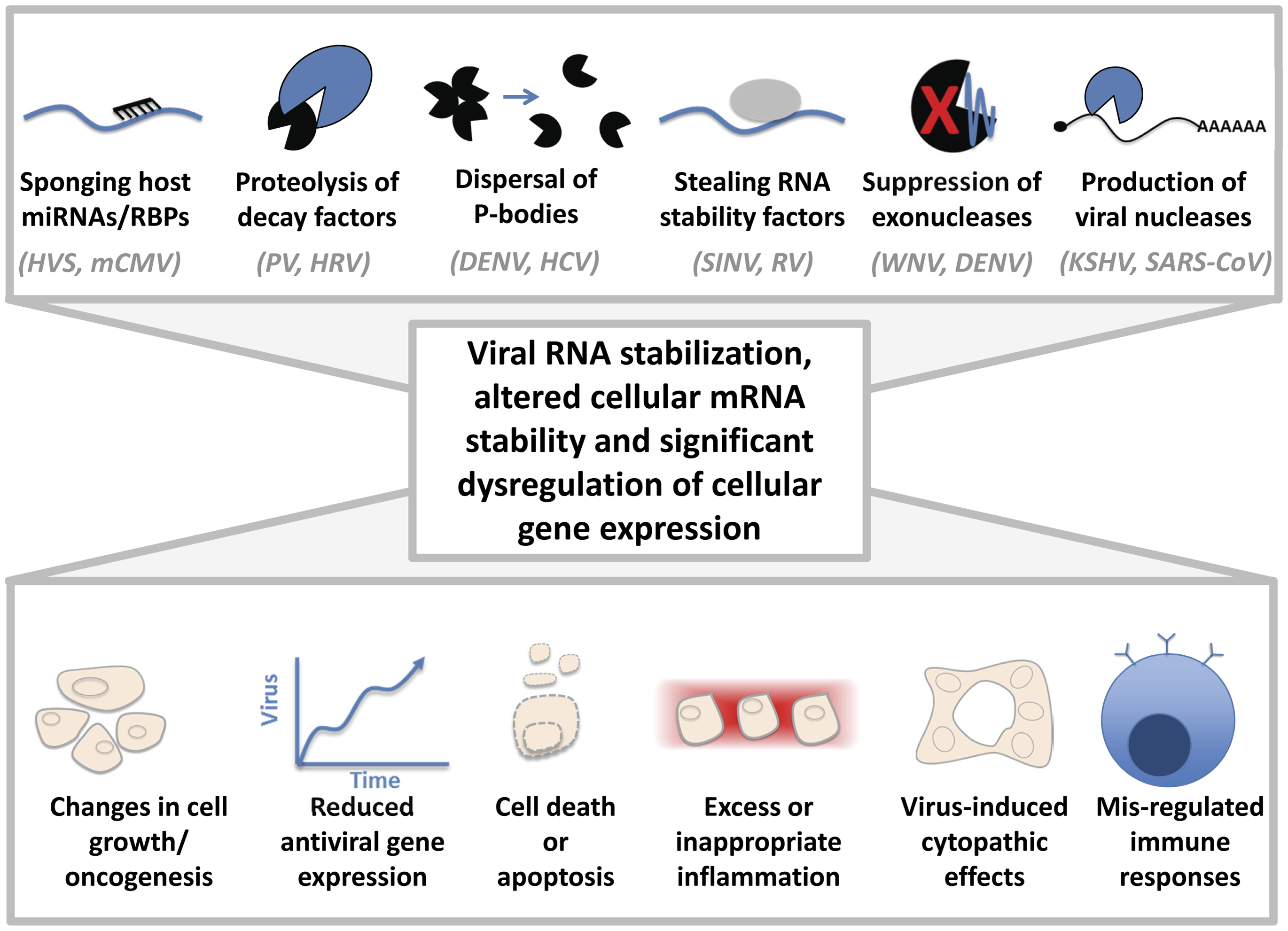 Cytoplasmic viruses may induce pathology by altering host mRNA decay pathways.