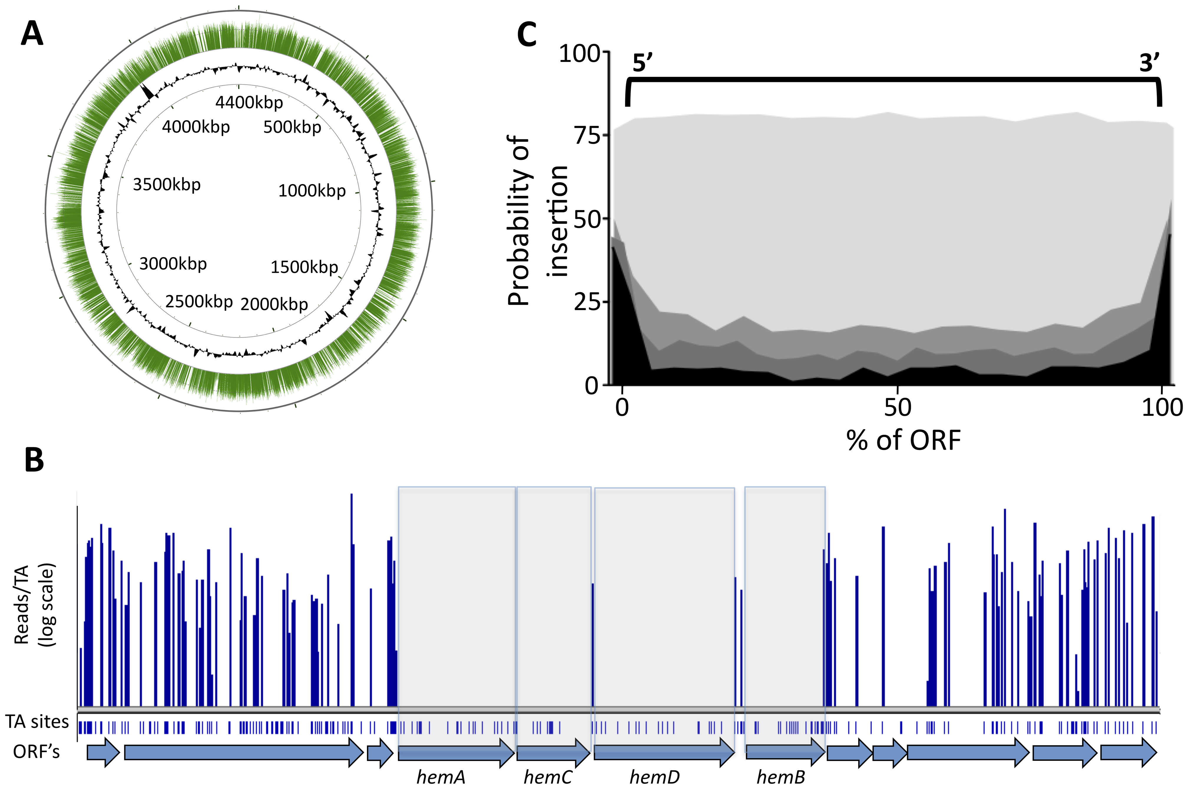 Transposon insertions are randomly distributed, and gaps in transposon coverage correspond to predicted essential ORFs.