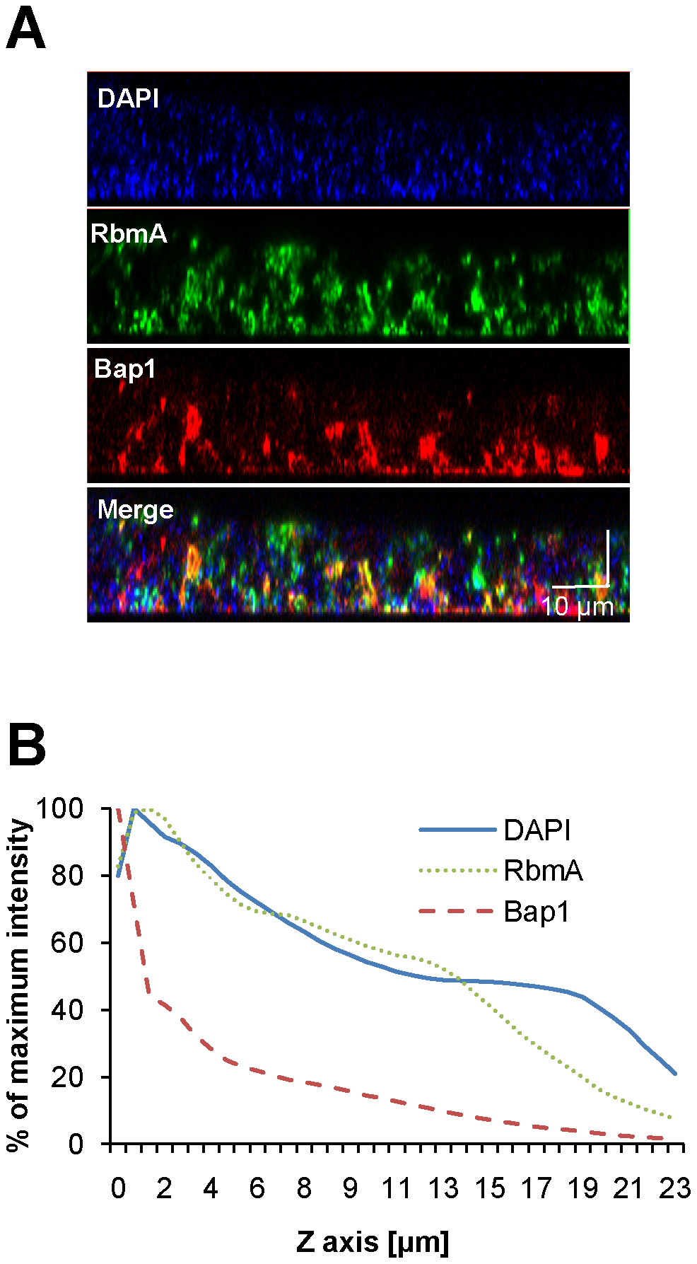 Vertical distribution of constitutively expressed Bap1 and RbmA in the <i>V. cholerae</i> biofilm.