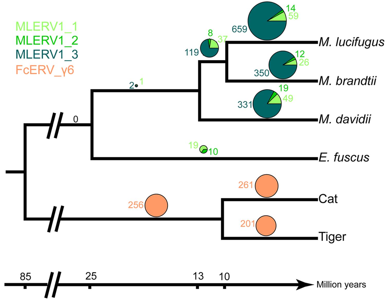 Distribution of MLERV1/FcERV_γ6 insertions in vesper bats and felids.