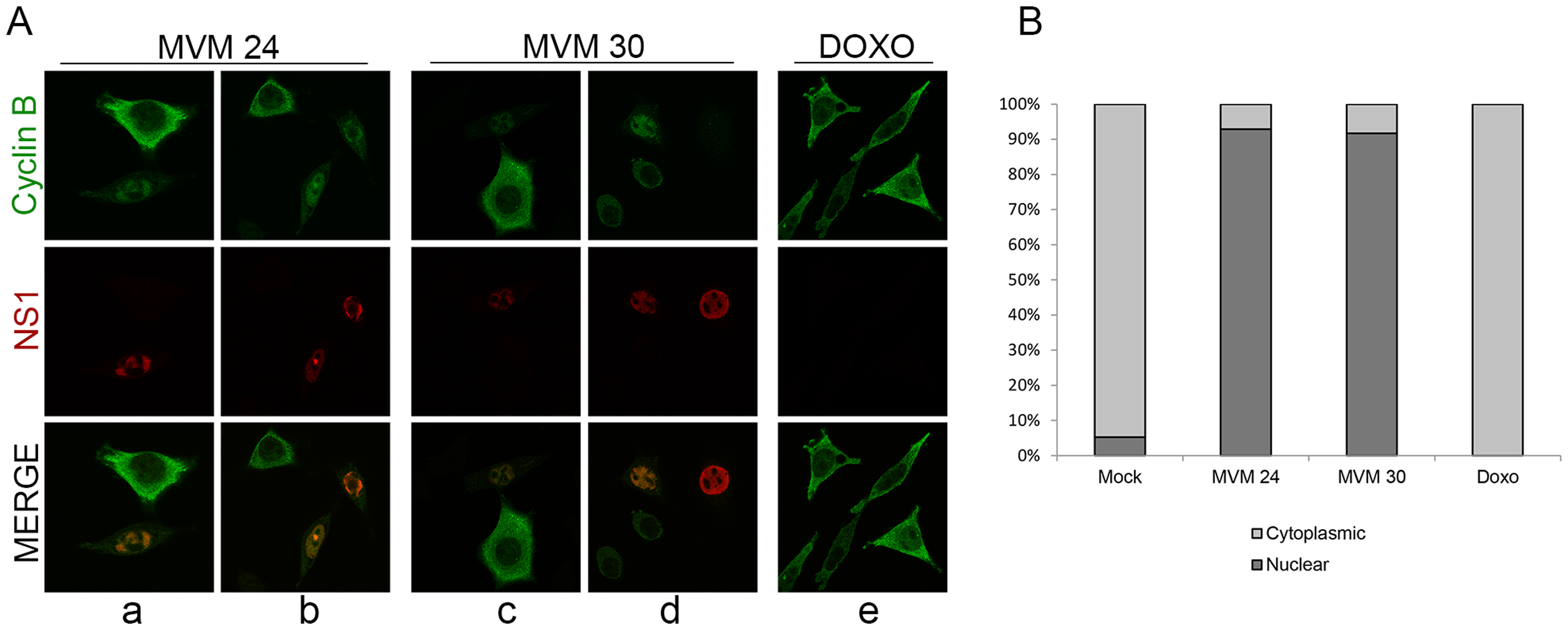 MVM infection induces premature nuclear entry, recruitment into APAR bodies and eventual loss of cyclin B1.