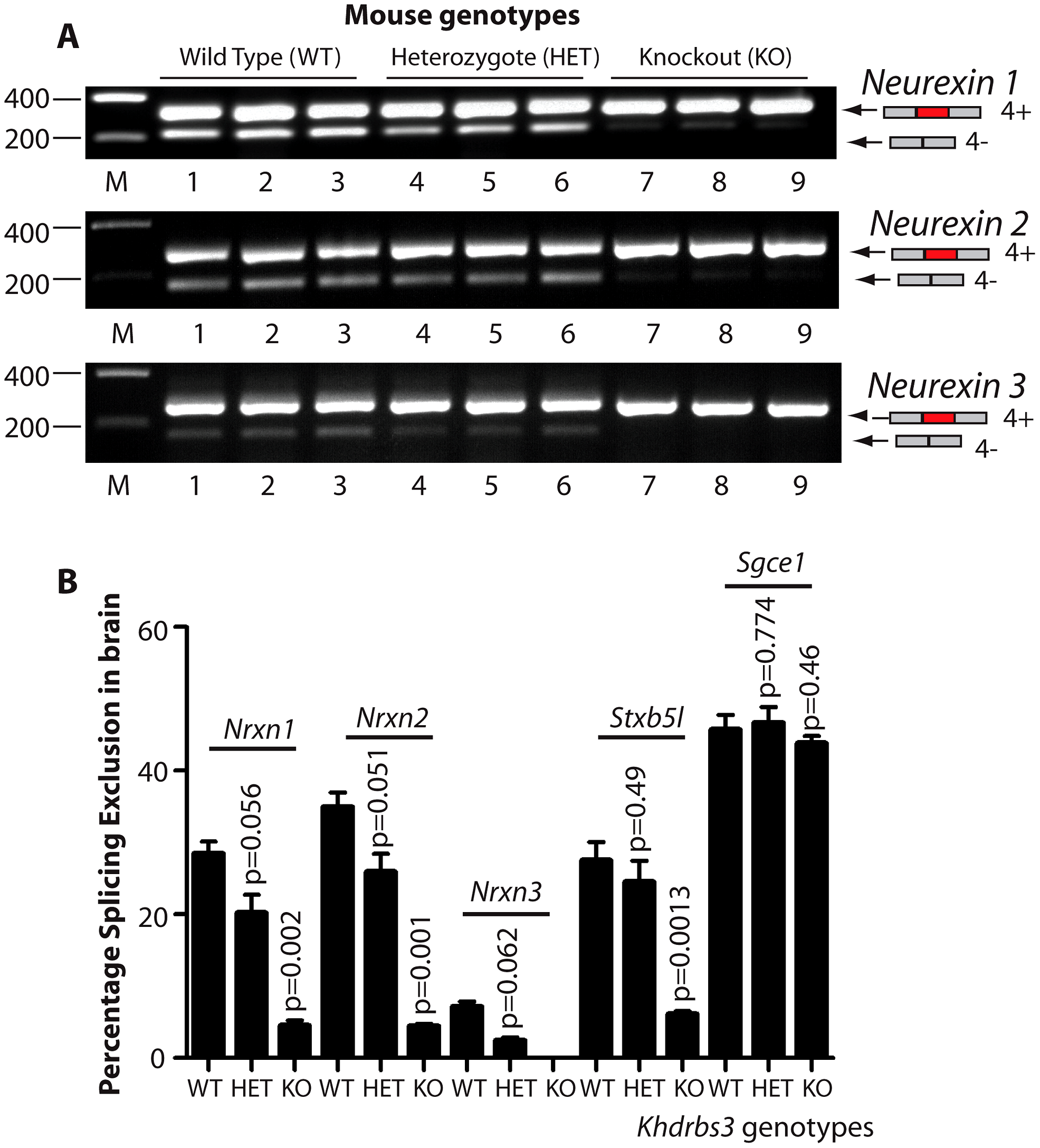 T-STAR protein is a dose-dependent splicing regulator of <i>Nrxn1-3</i> AS4 in the mouse brain.