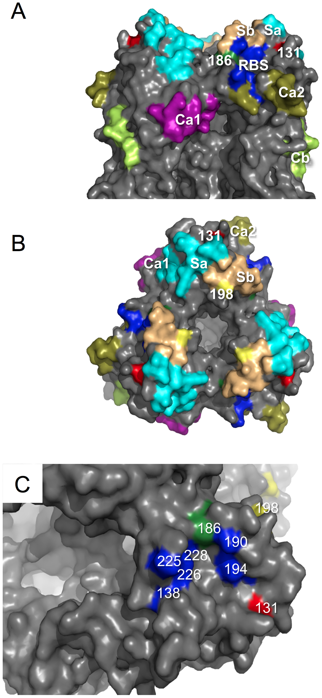 Structural analysis of amino acid mutations on the HA of ma-Ca/04.