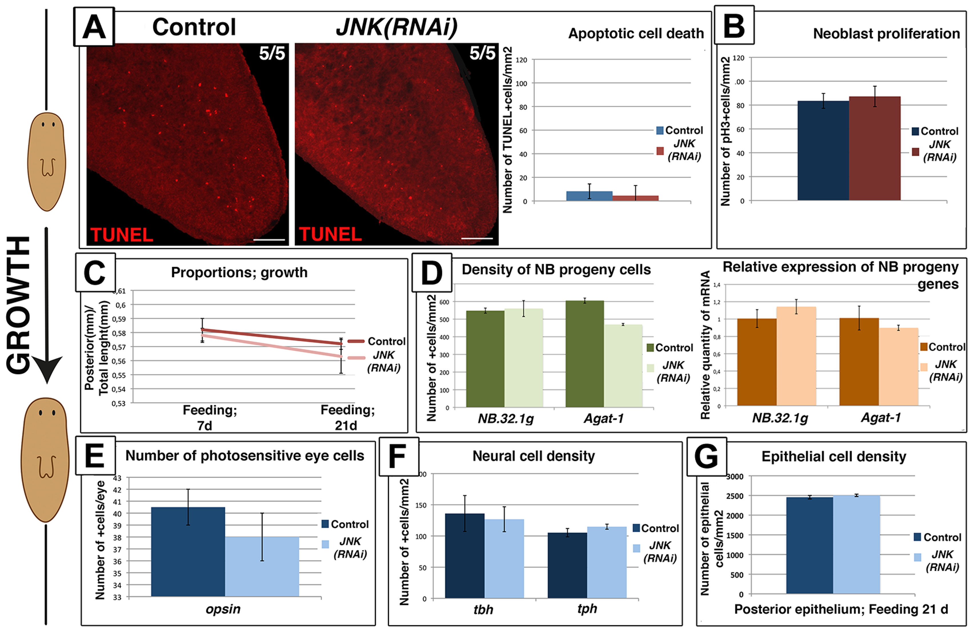 Remodeling during growth does not depend on JNK-dependent apoptotic cell death.