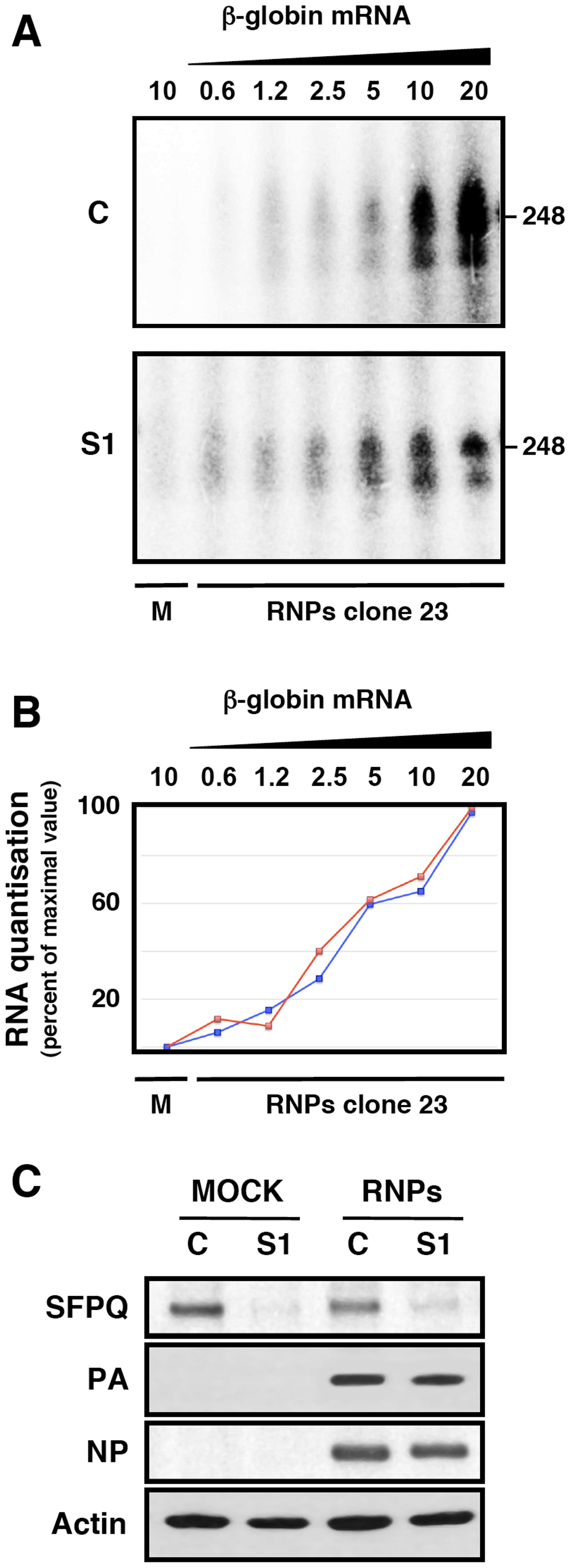 Cap-donor dose-response for <i>in vitro</i> transcription of recombinant RNPs.