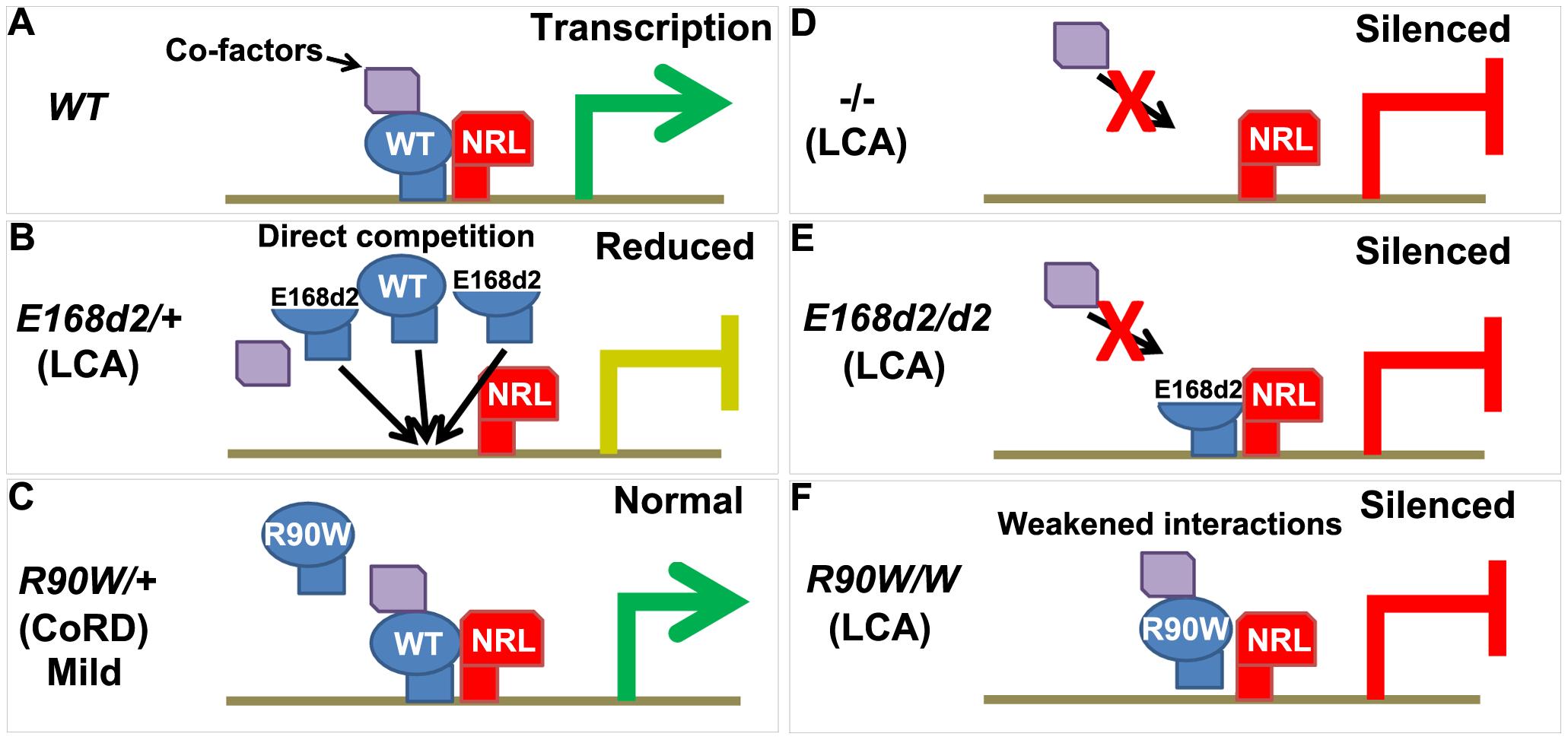 Models for CRX<sup>[E168d2]</sup> and CRX<sup>[R90W]</sup> mechanisms of pathogenesis in <i>K-IN</i> mice.