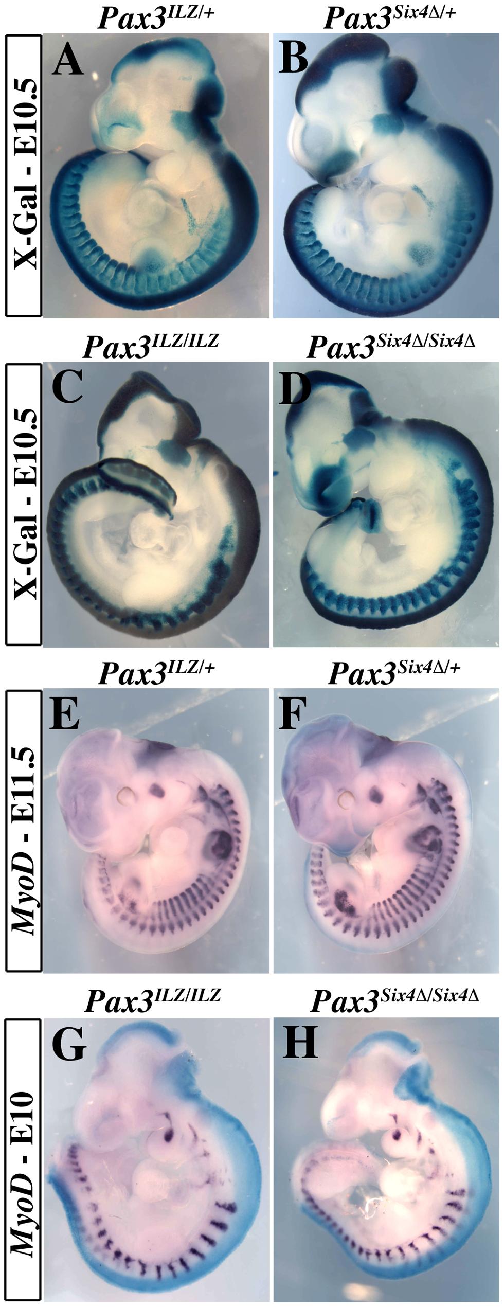Expression of <i>Six4Δ</i> does not perturb normal embryonic development nor rescue <i>Pax3</i> mutant deficiencies.