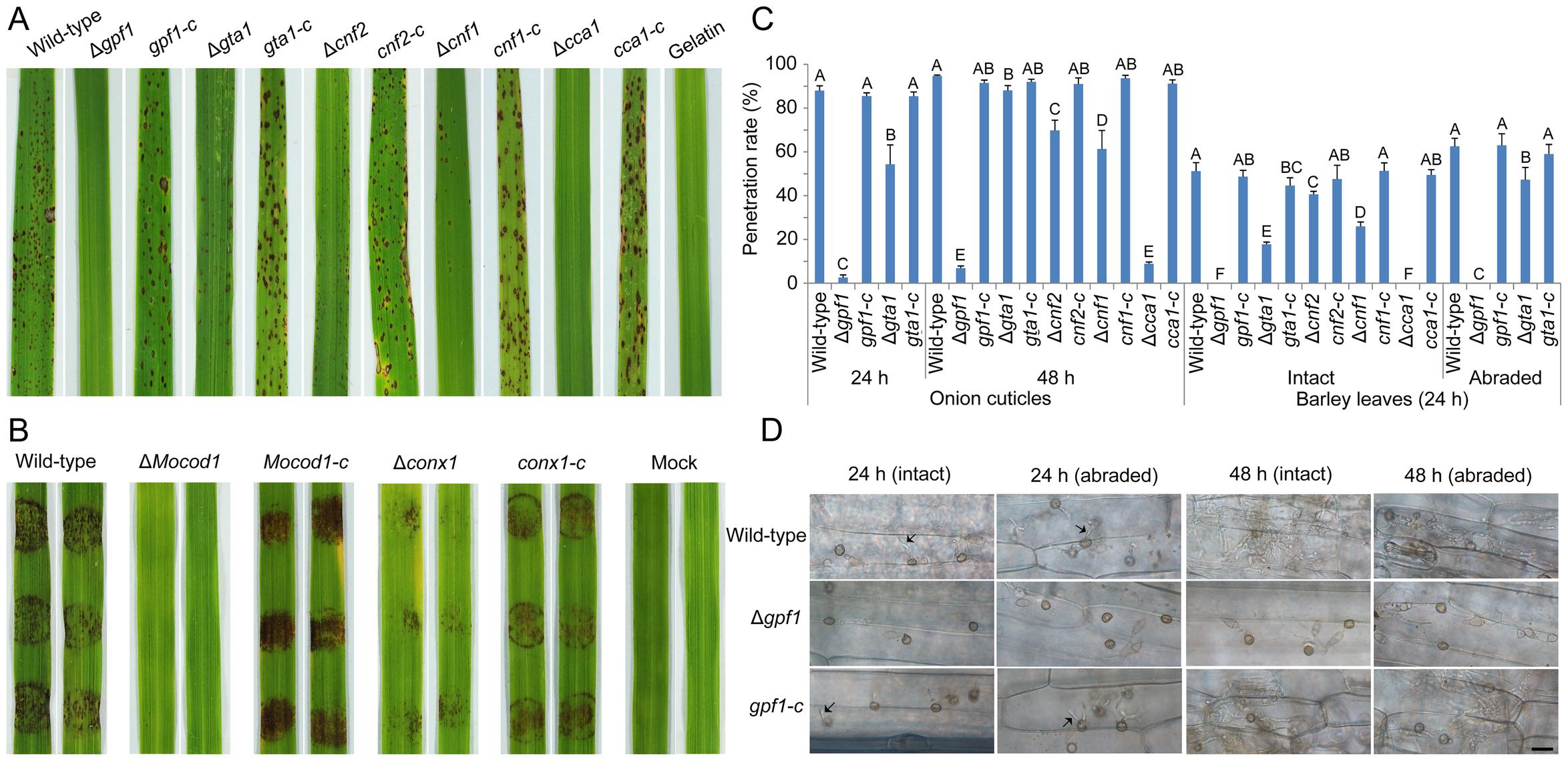 Pathogenicity assay of the <i>M. oryzae</i> strains.