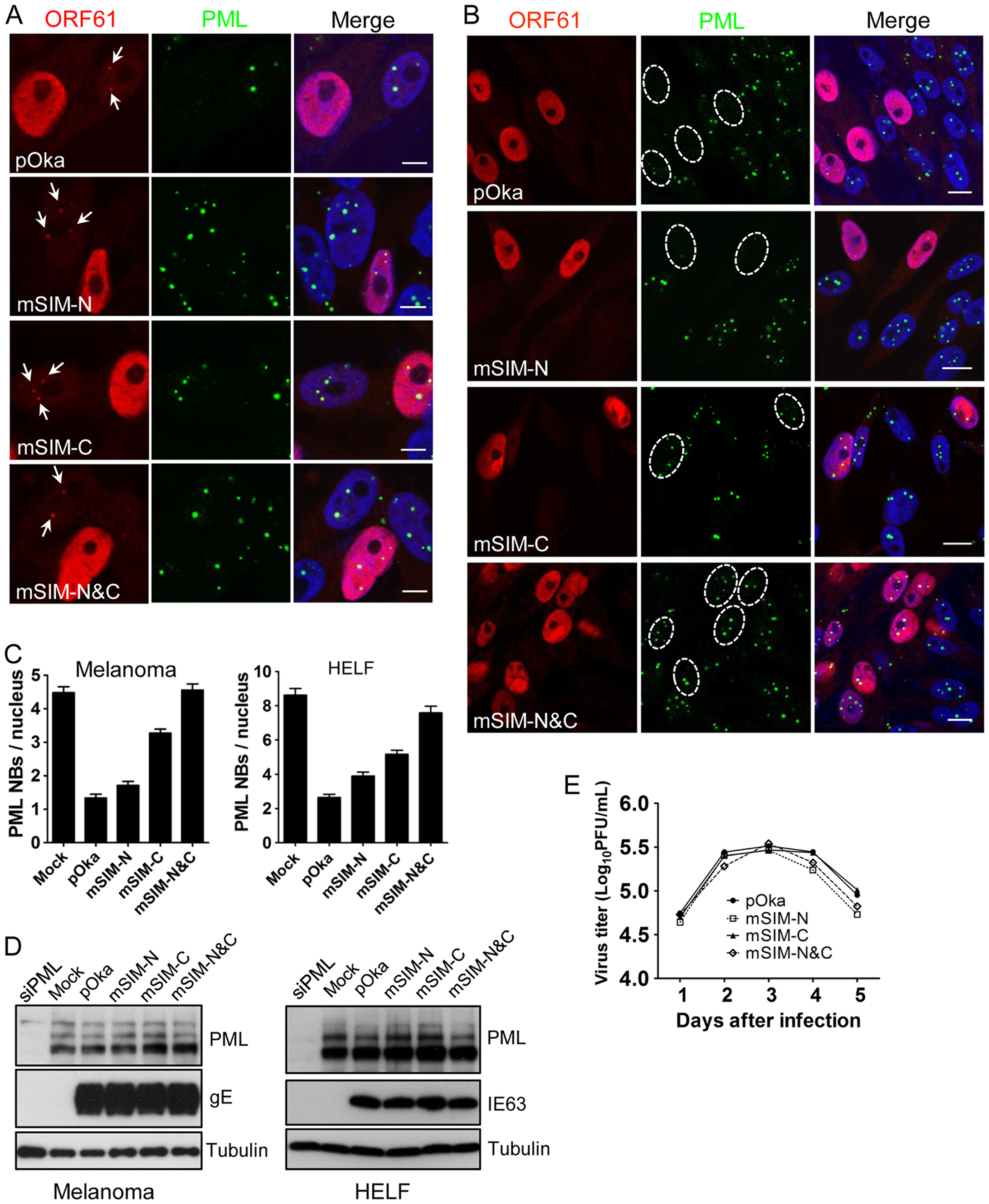 ORF61 SIMs are essential for PML NB disruption in VZV-infected cells but not required for VZV replication <i>in vitro</i>.