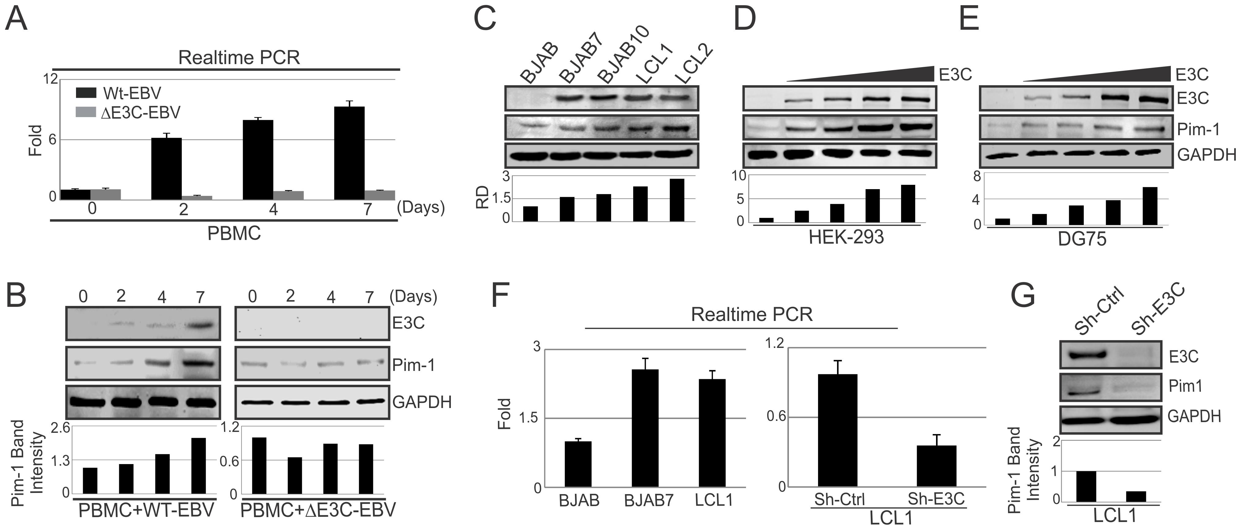 Upregulation of Pim-1 expression by EBNA3C.