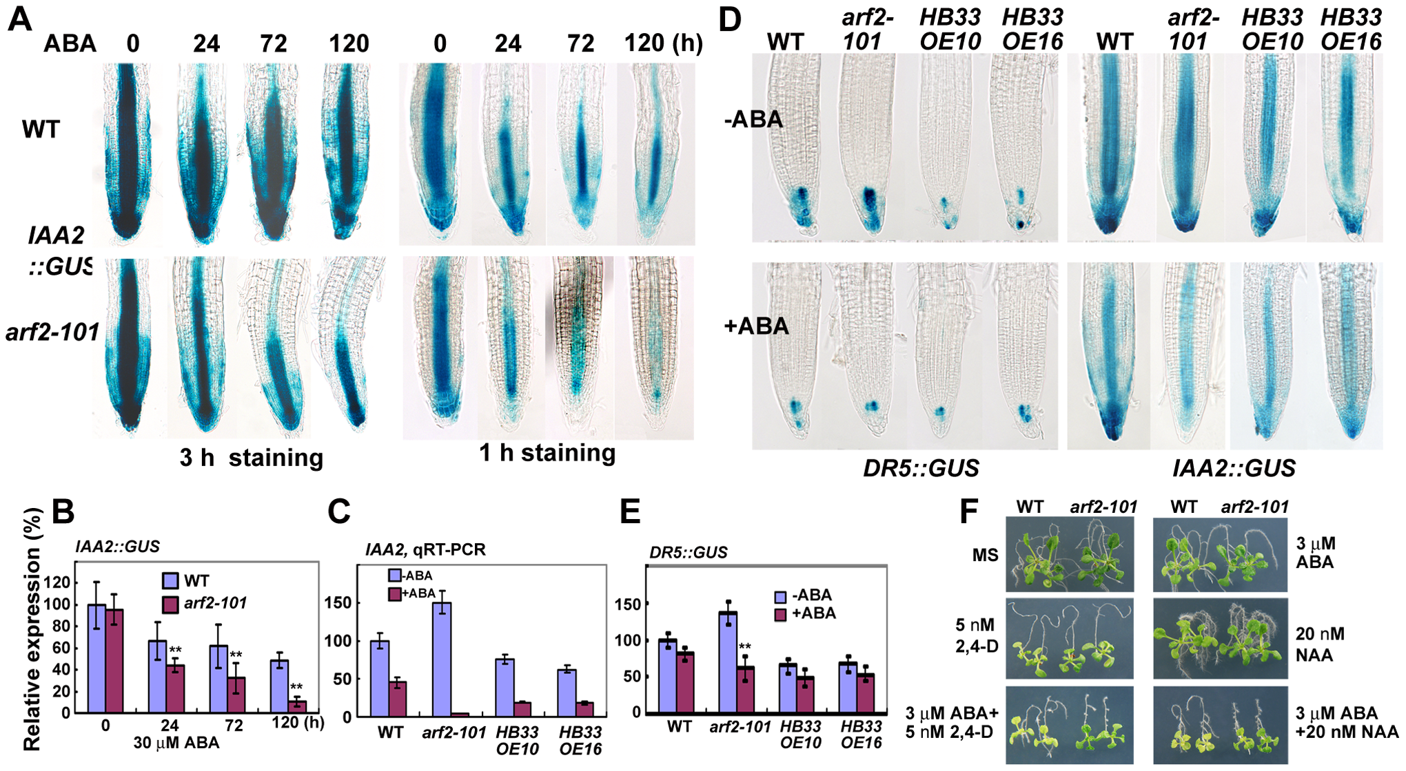 ABA treatment altered the auxin distribution or auxin signal in the root tips.