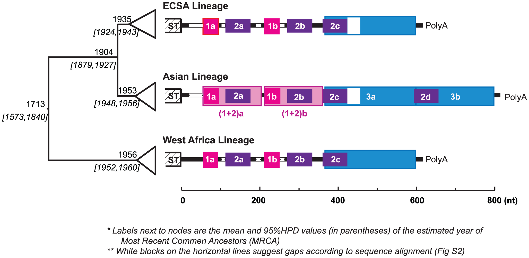 Evolution history and lineage-specific structures of the CHIKV 3′UTR.