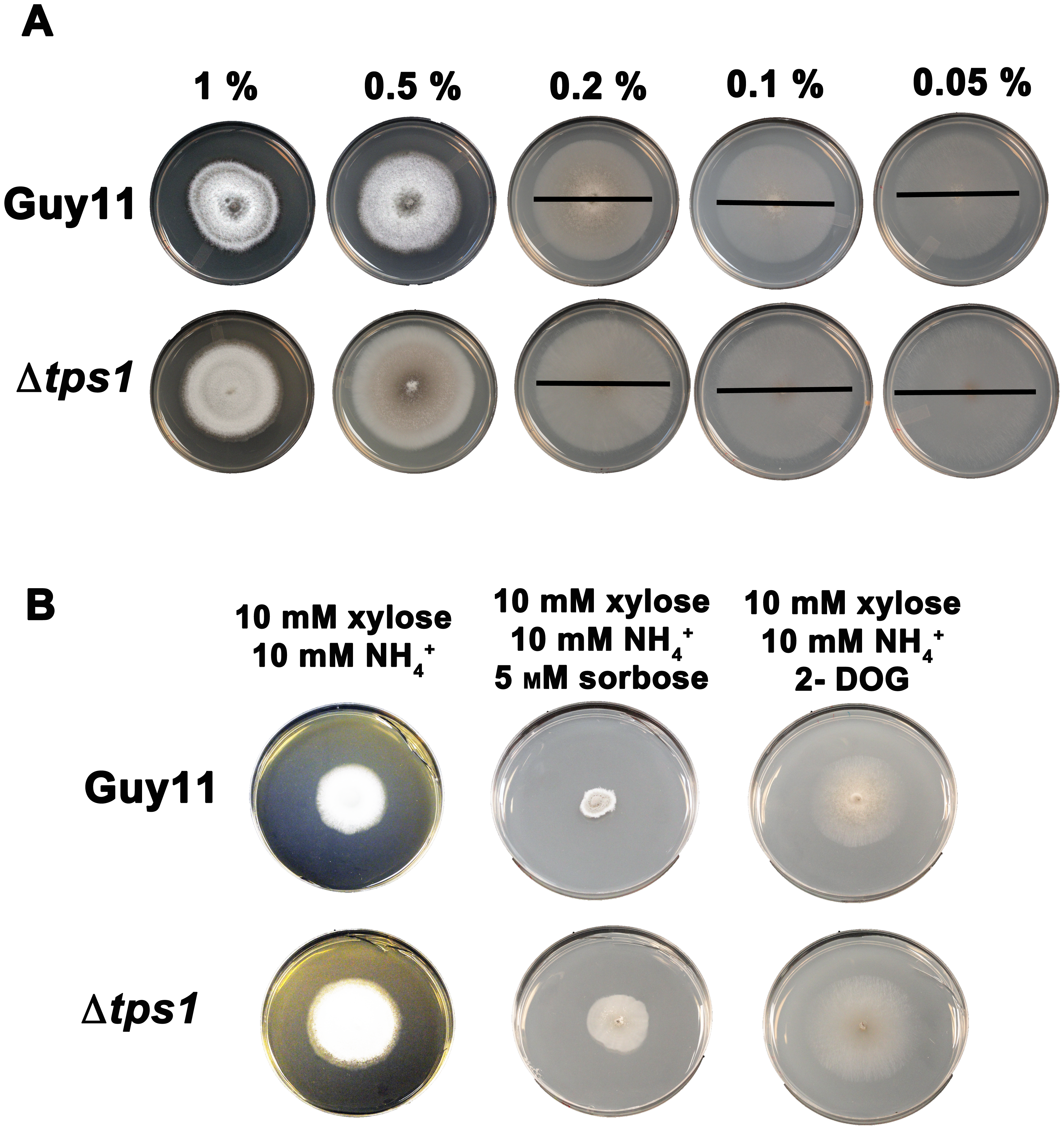 Glucose uptake and phosphorylation is not impaired in Δ<i>tps1</i> strains.