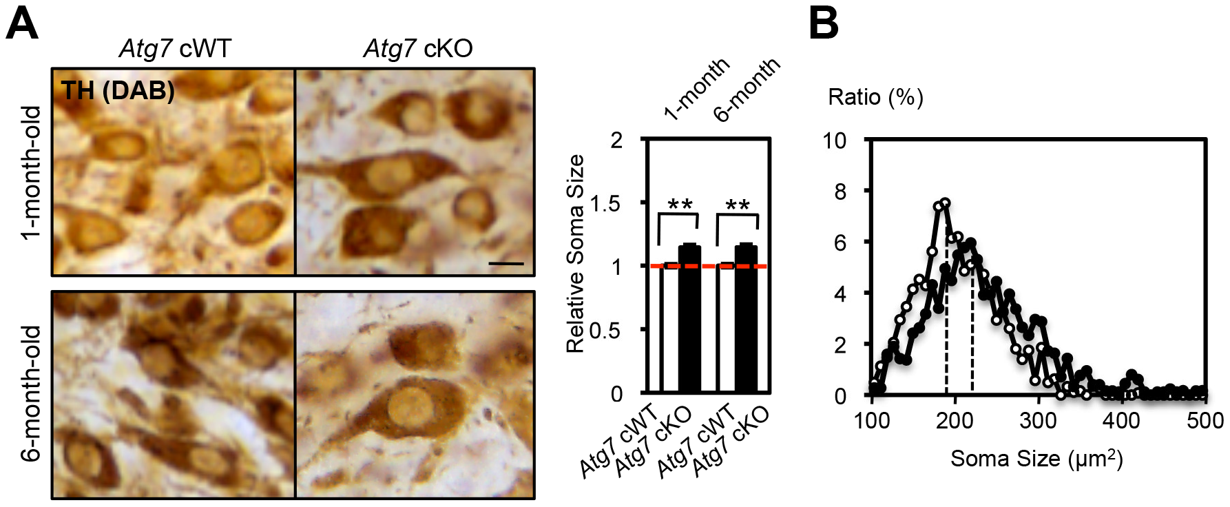 Enlarged soma size in TH-positive DA neurons of <i>Atg7</i> cKO mice.