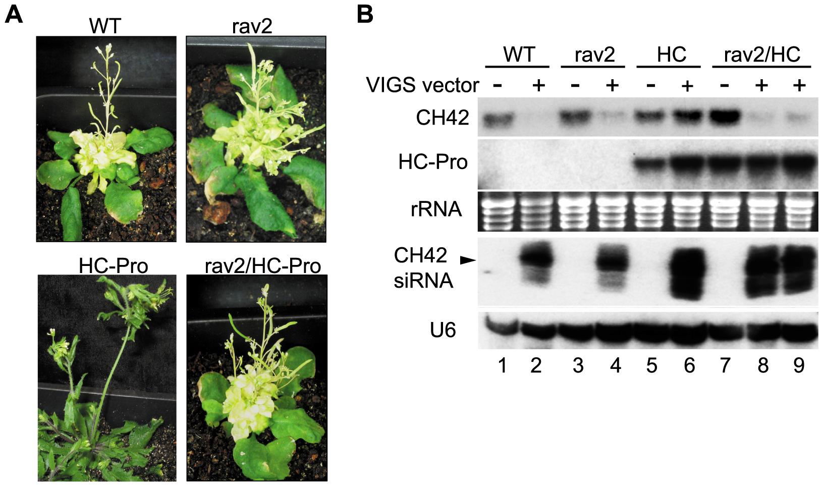 <i>RAV2</i> is Required for HC-Pro Suppression of Virus Induced Gene Silencing (VIGS).