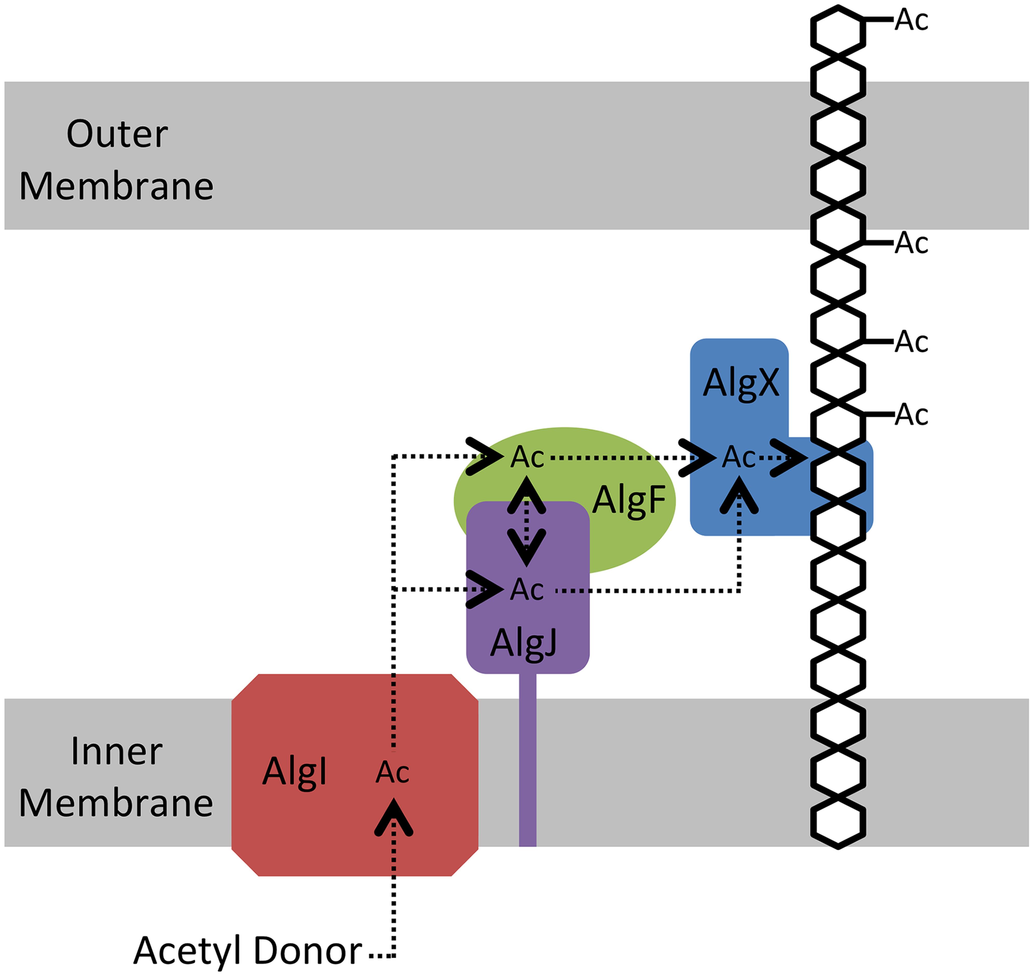 Proposed model for the <i>O</i>-acetylation of alginate.