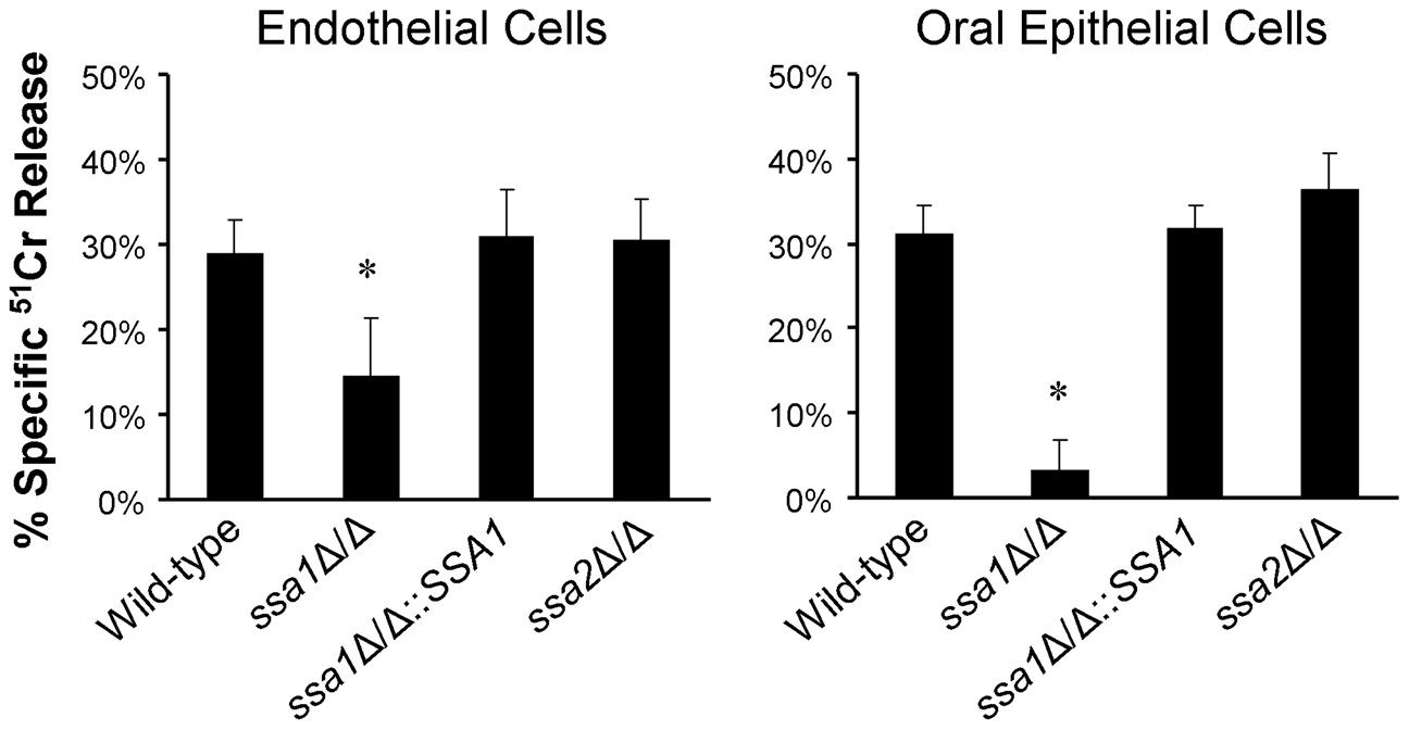 Ssa1 is necessary for <i>C. albicans</i> to cause maximal damage to endothelial cells and an oral epithelial cell line.