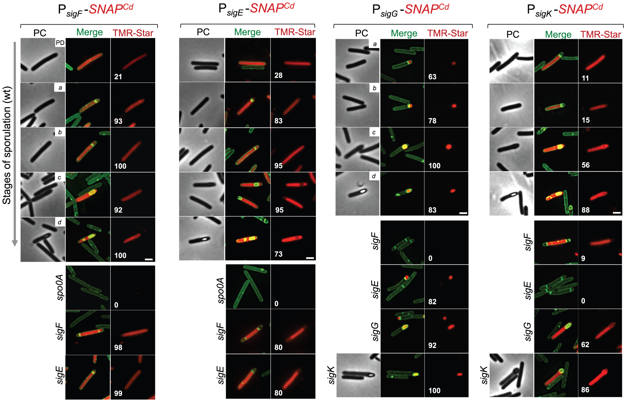 Temporal and cell type-specific expression of <i>sigF</i>, <i>sigE</i>, <i>sigG</i> and <i>sigK</i> during sporulation.