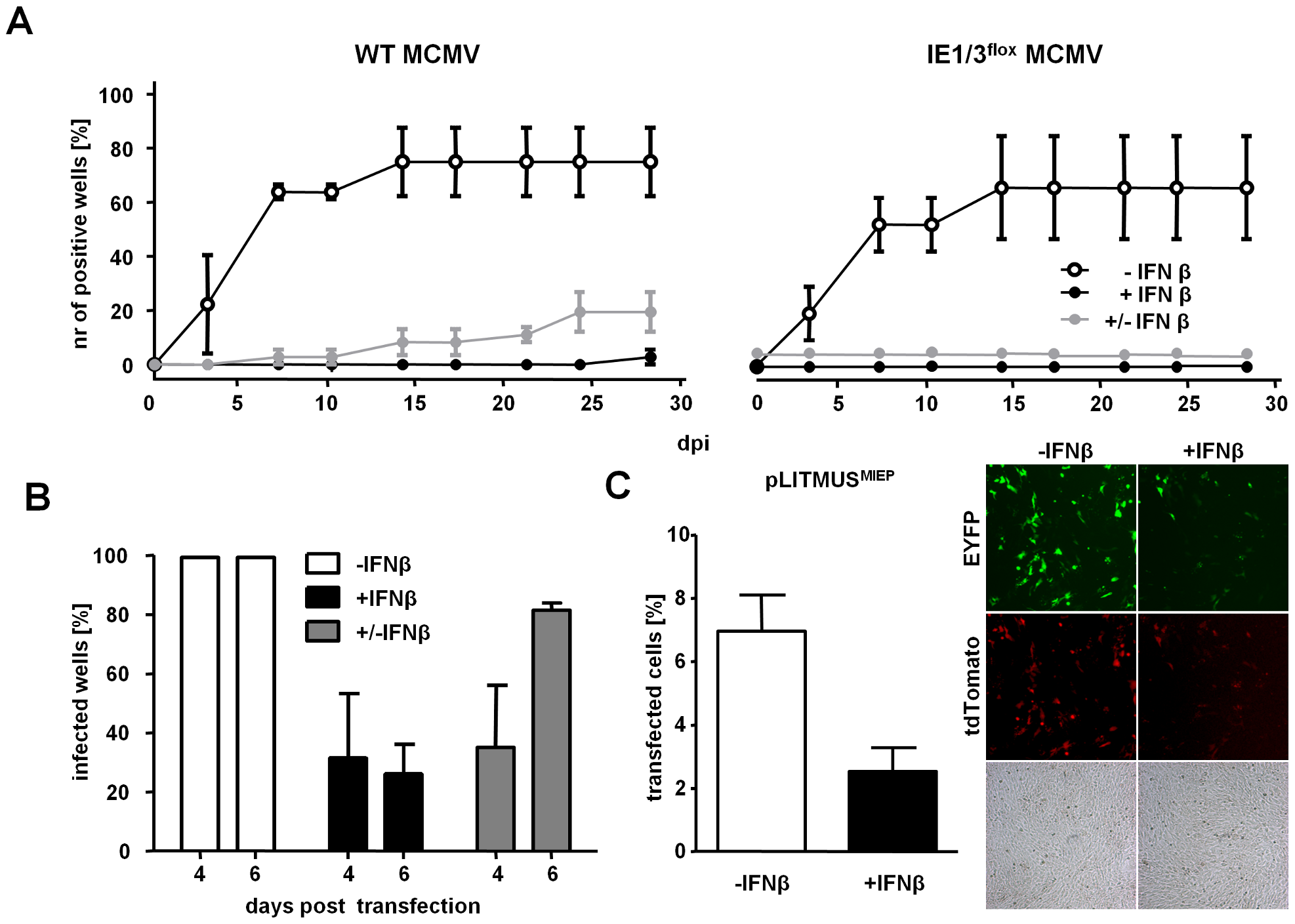 IFNβ suppresses MCMV immediate early gene expression and not virus entry.