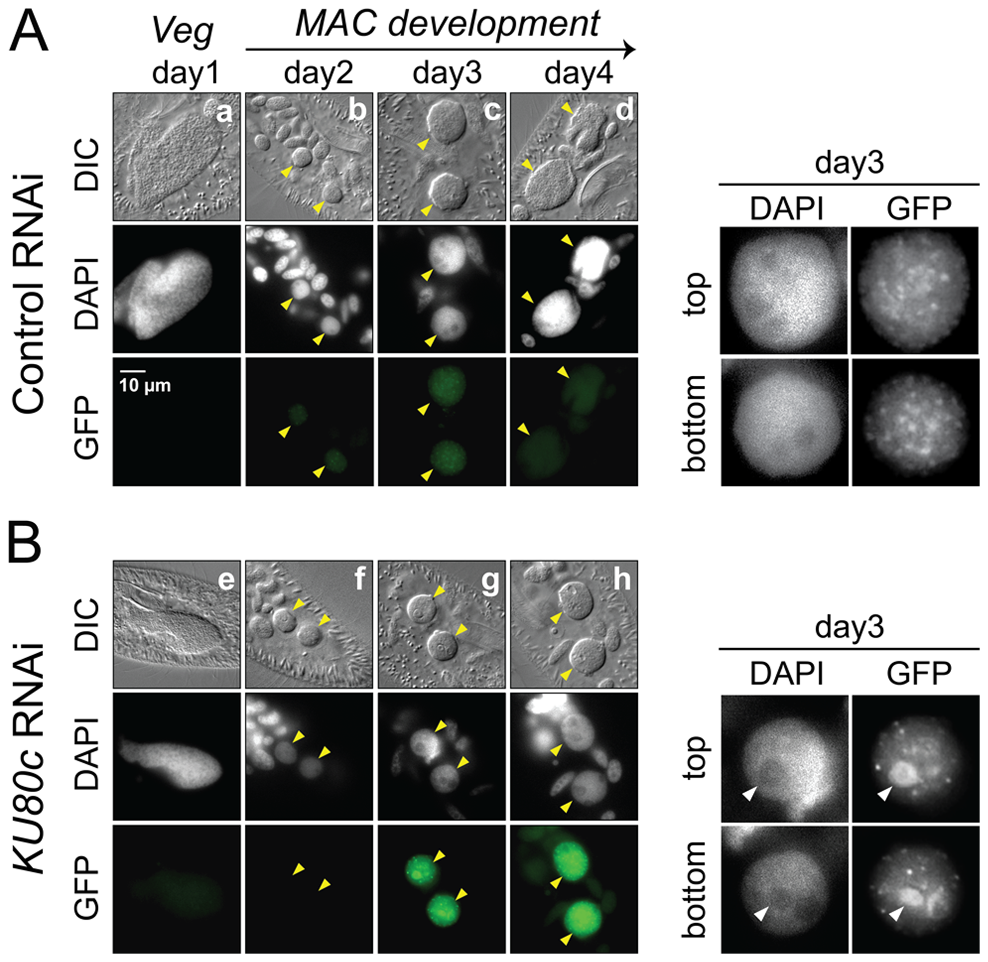 Nuclear accumulation of a Pgm-GFP fusion in Ku80c-depleted cells.