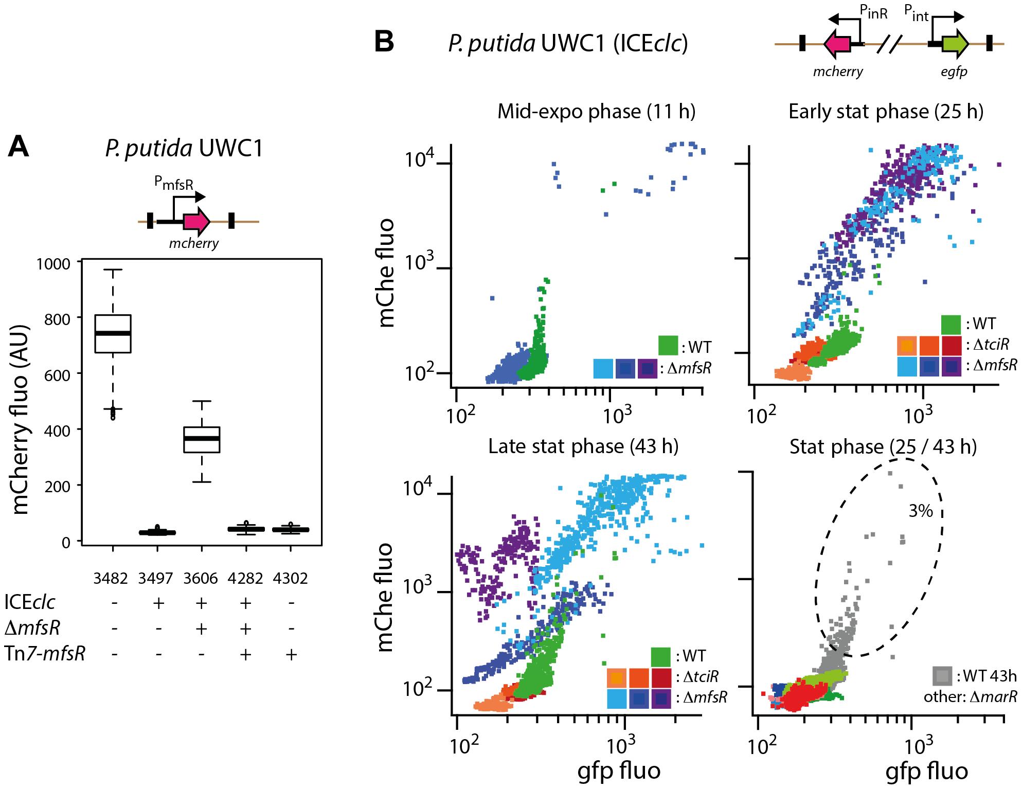 Effect of mutations in the <i>mfsR</i> region on the expression of the P<sub>mfsR</sub>-, P<sub>int</sub>- and P<sub>inR</sub>-promoters of ICE<i>clc</i> in <i>P. putida</i> UWC1.