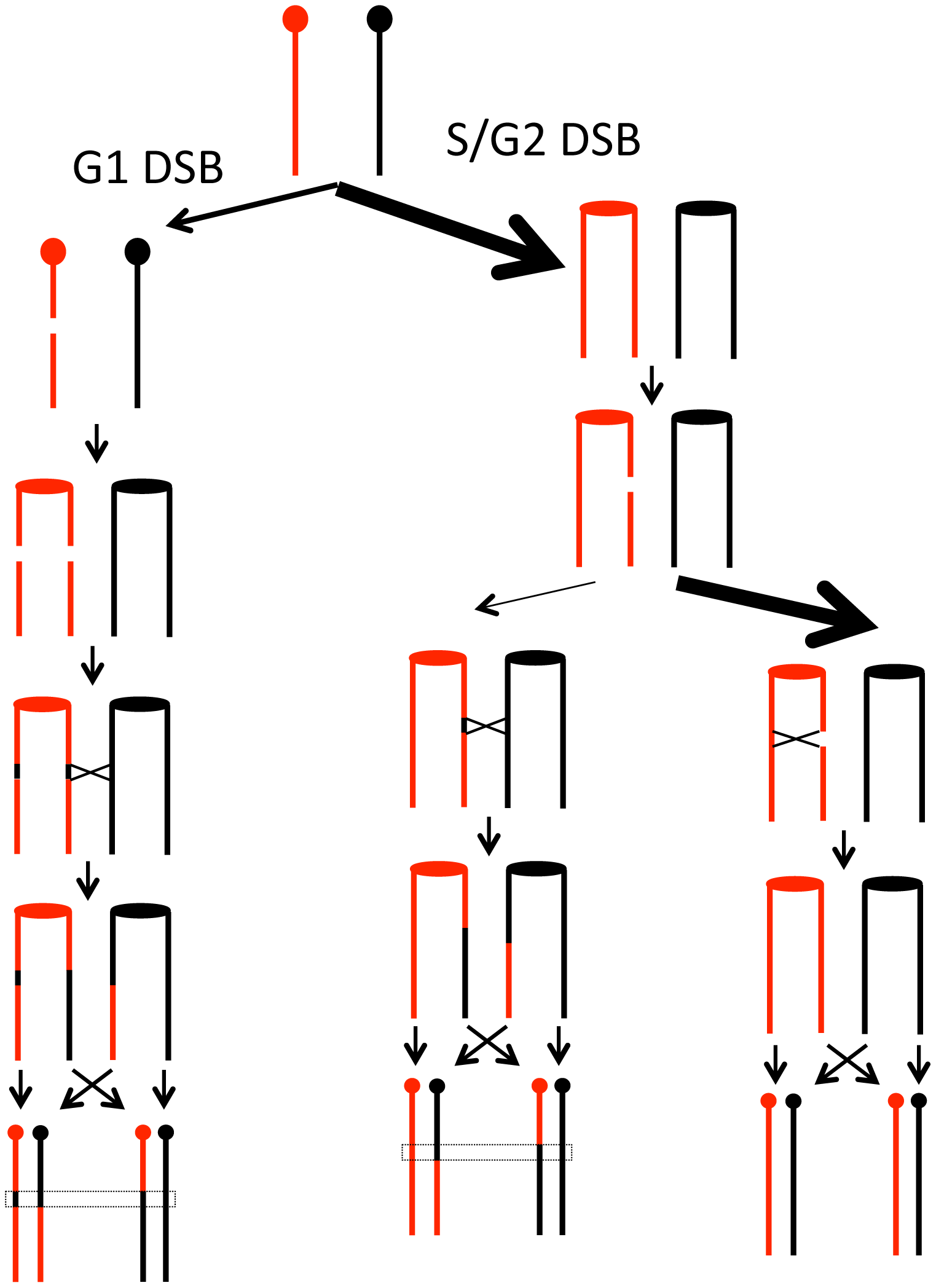 Model for homologous recombination repair choices depending on the timing of the initiating DSB lesion.