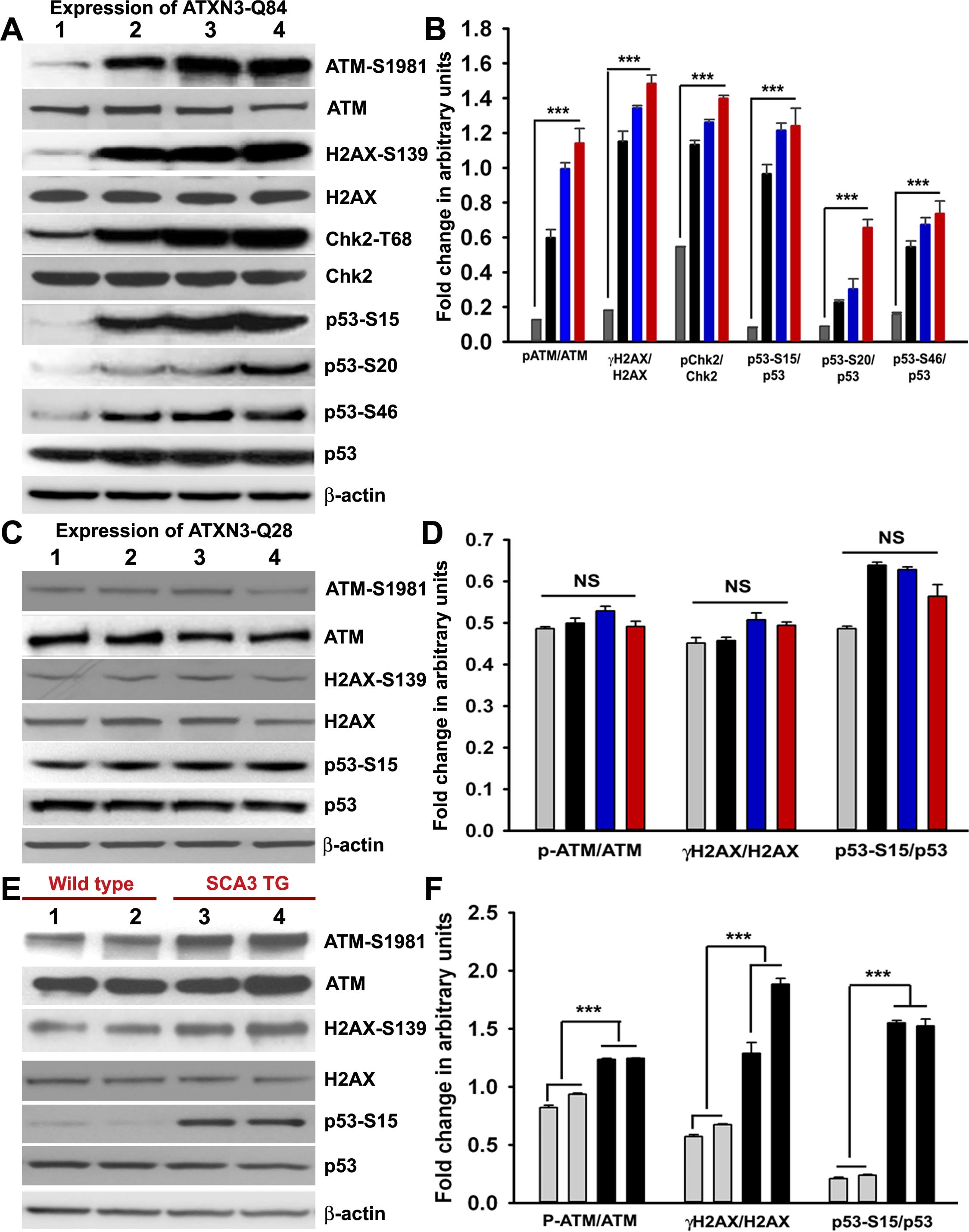 Mutant ATXN3 activates DNA damage-response <i>in vitro</i> and <i>in vivo</i>.