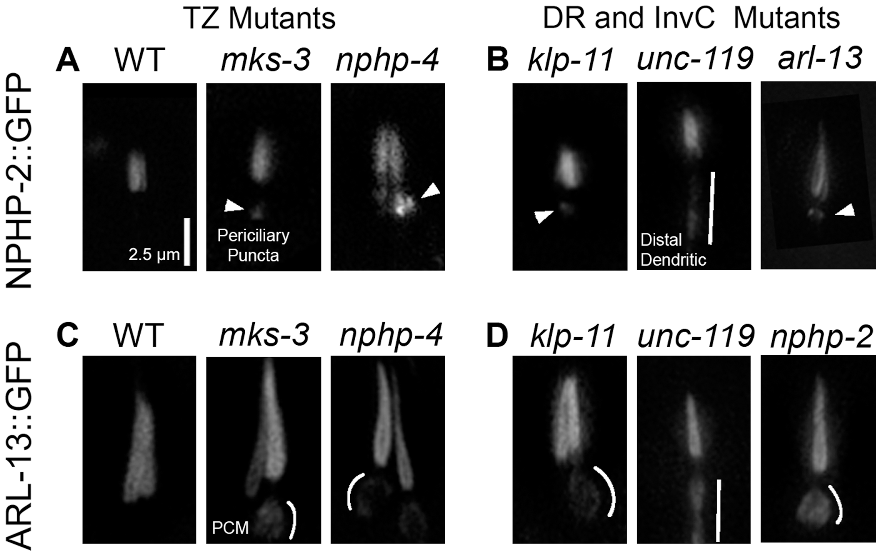 NPHP-2 and ARL-13 do not require TZ-, doublet region-, and InvC-associated genes for ciliary targeting.