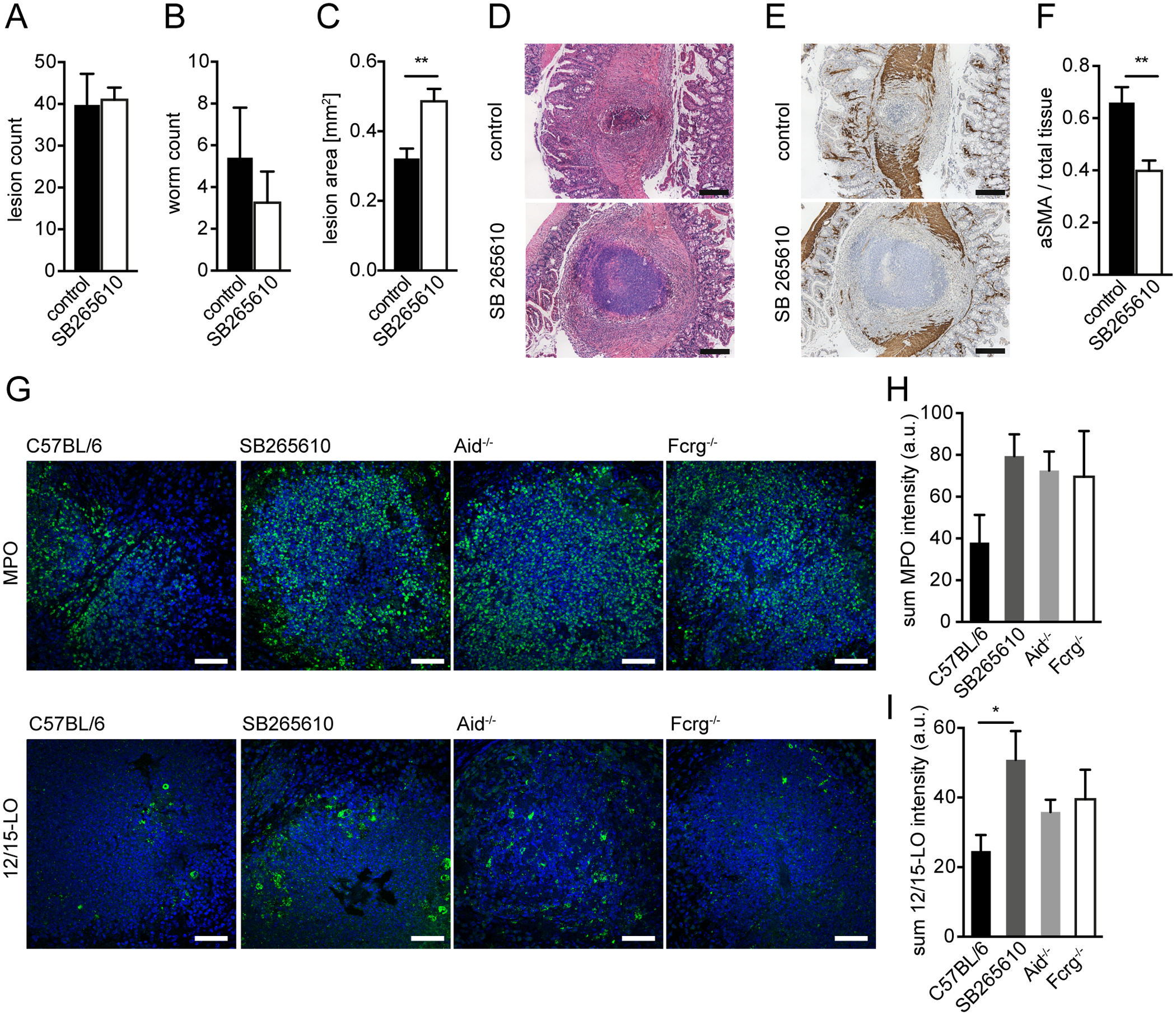 Inhibition of CXCR2 signaling leads to delayed MF accumulation and increased lesion size without affecting granulocyte recruitment in vivo.