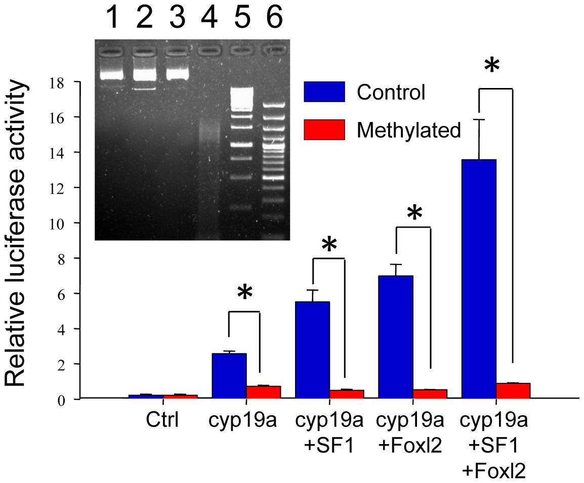 Effects of methylation on sea bass <i>cyp19a</i> promoter activity <i>in vitro</i>.