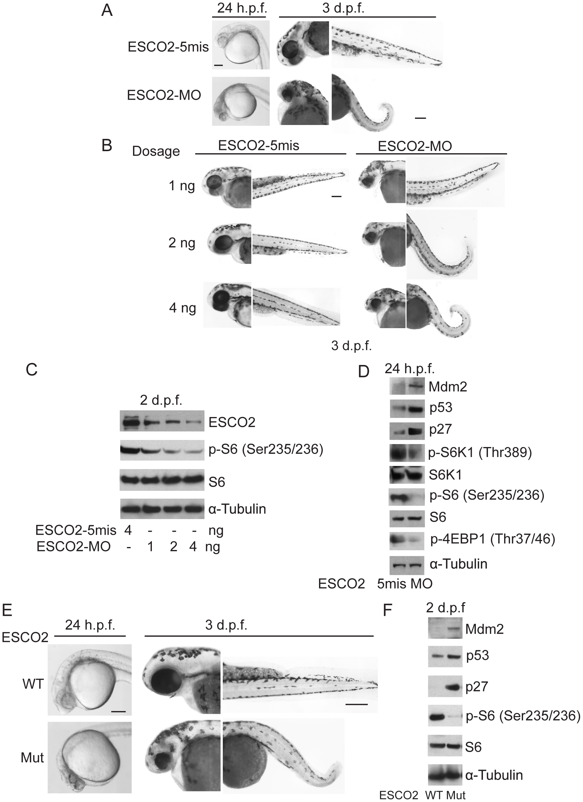 Reduced ESCO2 function is associated with mTOR inhibition, p53 activation, and dramatic developmental phenotypes in zebrafish.