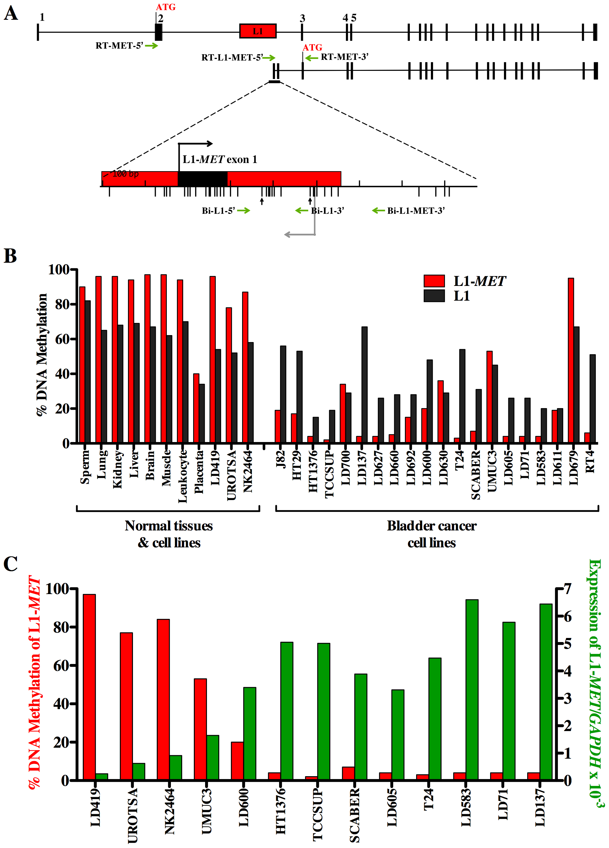 Methylation and expression of L1-<i>MET</i> correlates in cell lines.