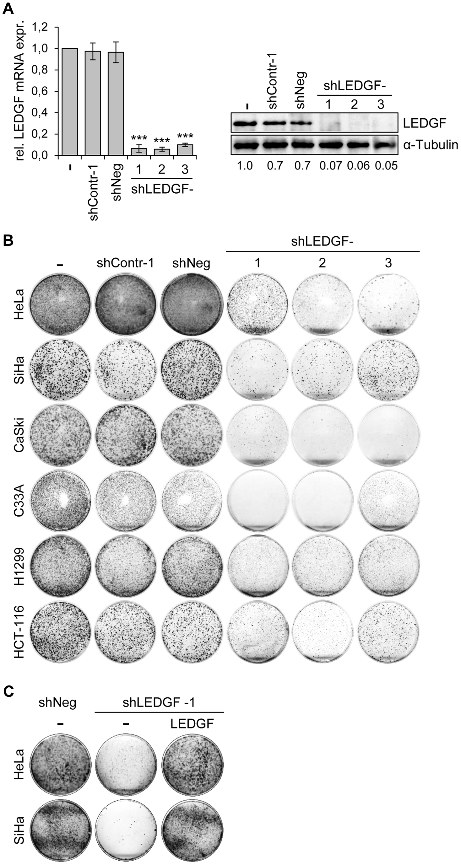 <i>LEDGF</i> silencing by shRNAs blocks the growth of tumor cell lines in colony formation assays (CFAs).