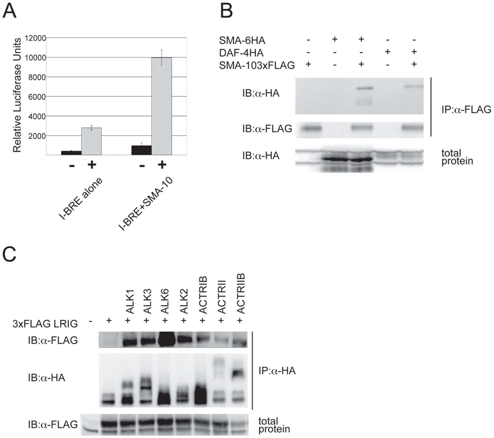 SMA-10 binds BMP receptors and enhances BMP signaling.