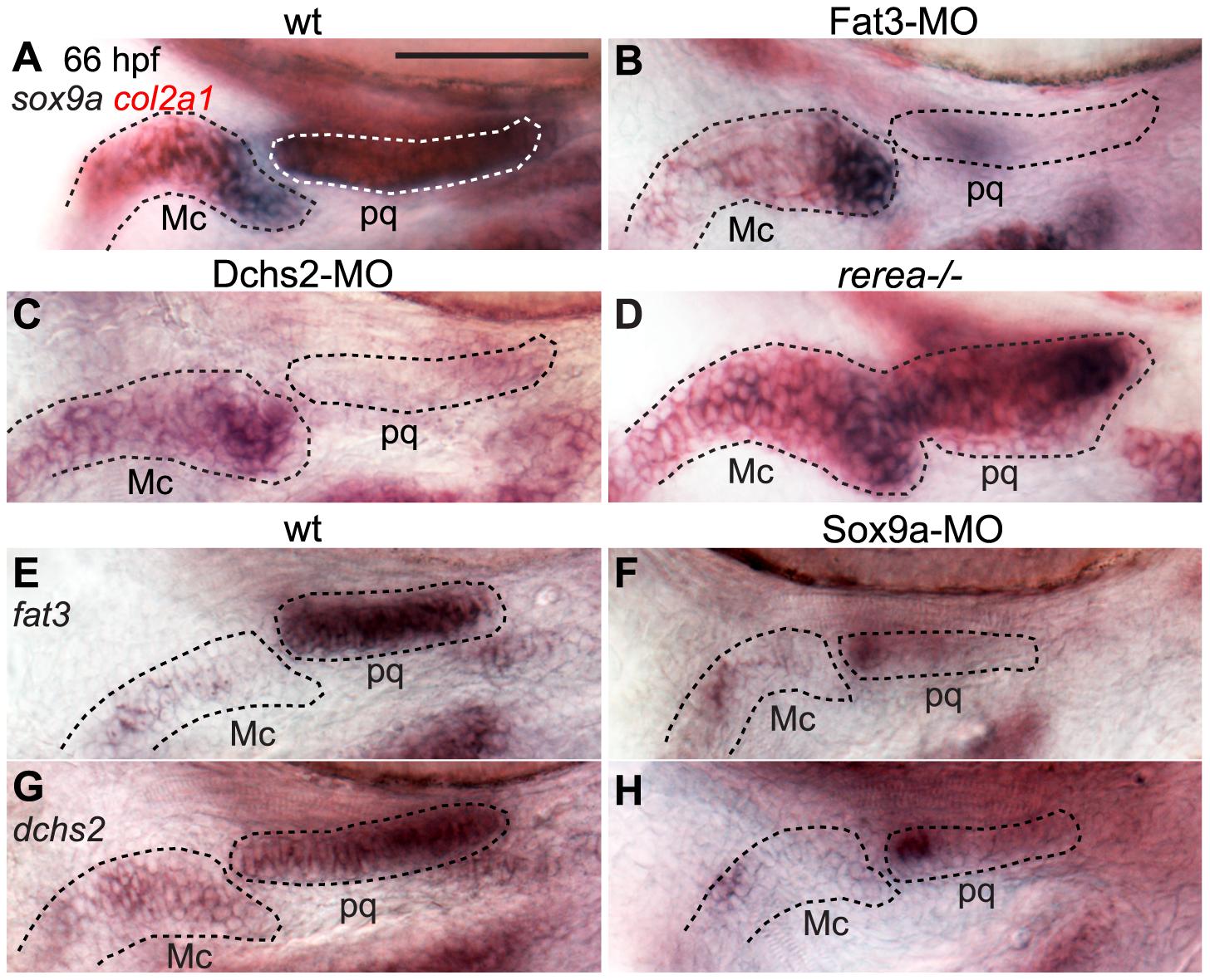 Regulatory feedback between Fat3, Dchs2, REREa and Sox9a.
