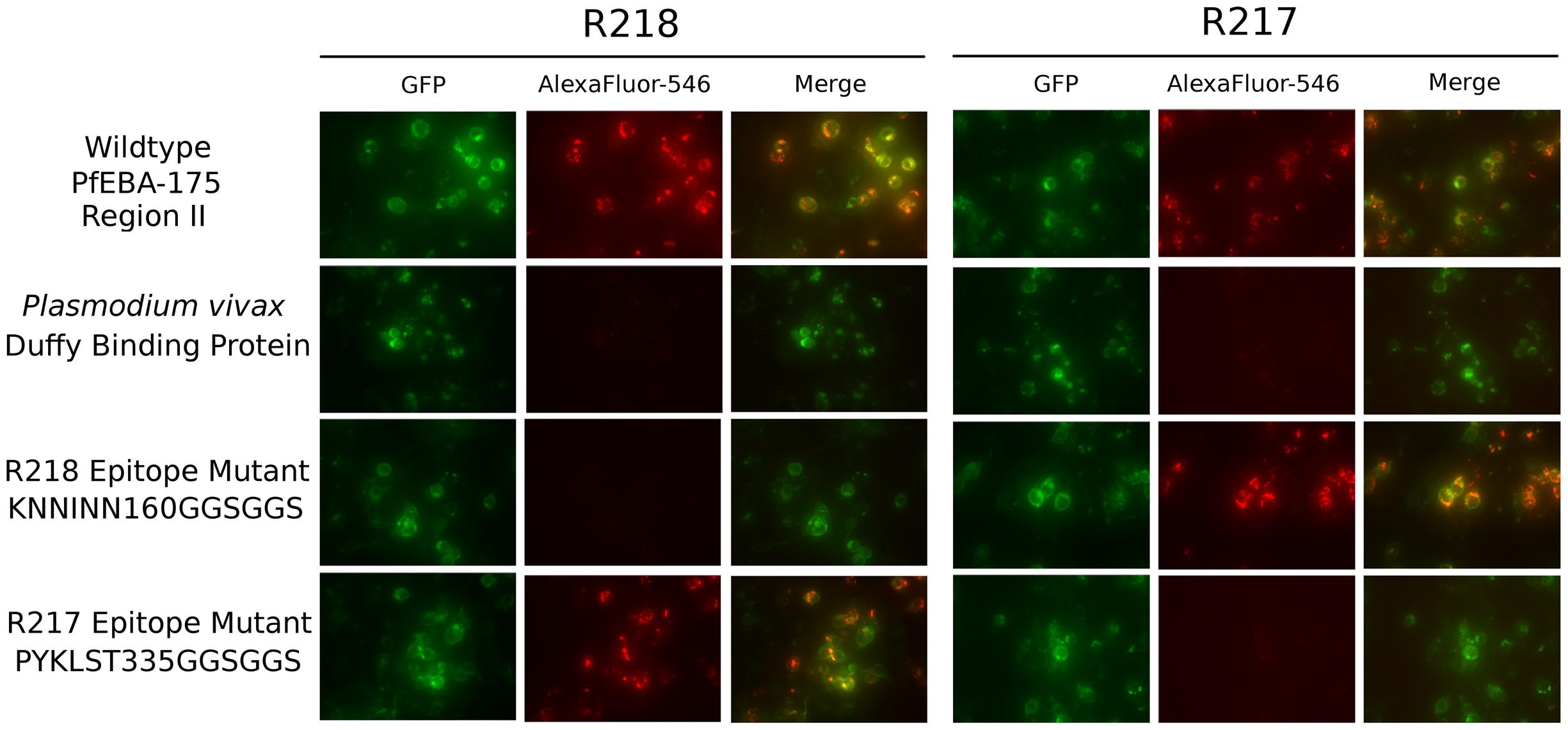 Antibody epitope identification by immunofluorescence assay.