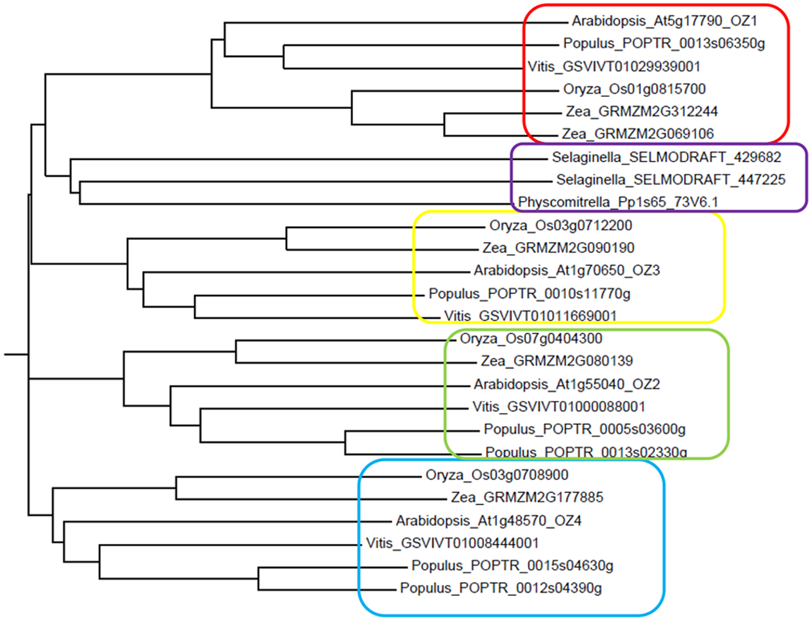 Phylogenetic tree of the OZ family.