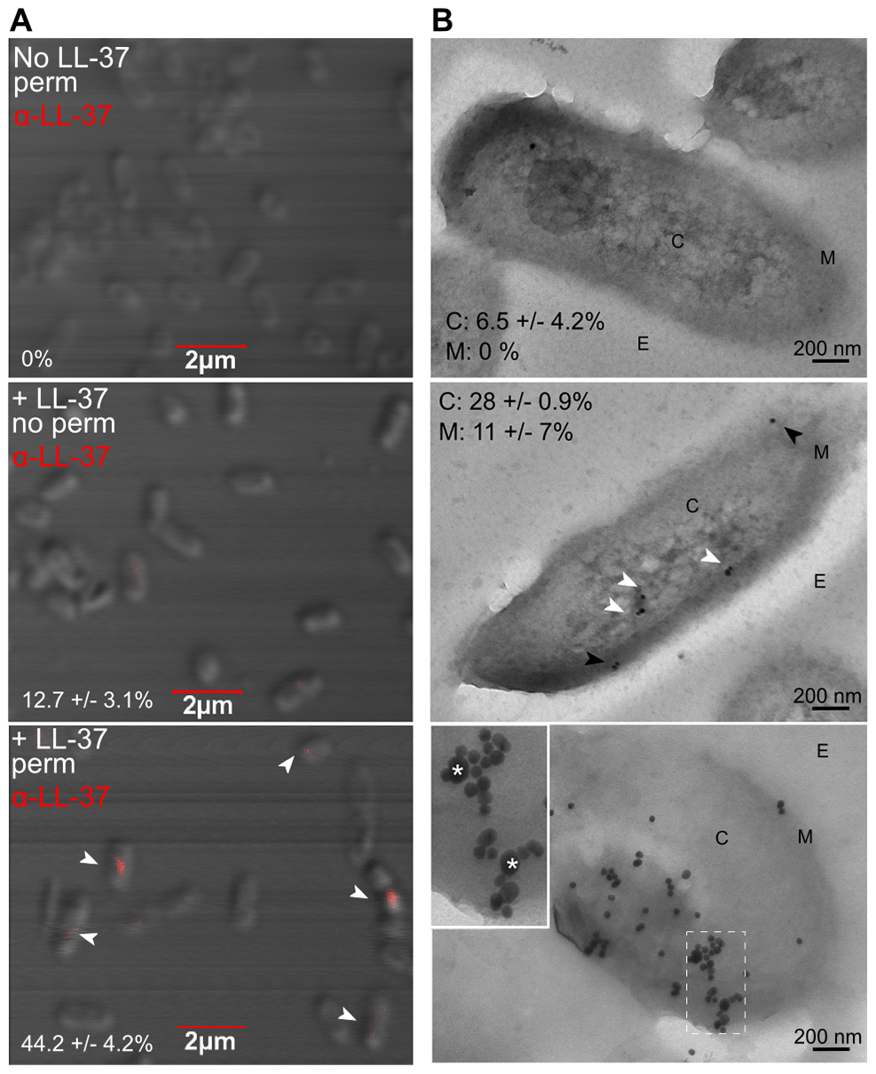 Sub-inhibitory concentrations of LL-37 enter the bacterial cytosol and interact with DNA.