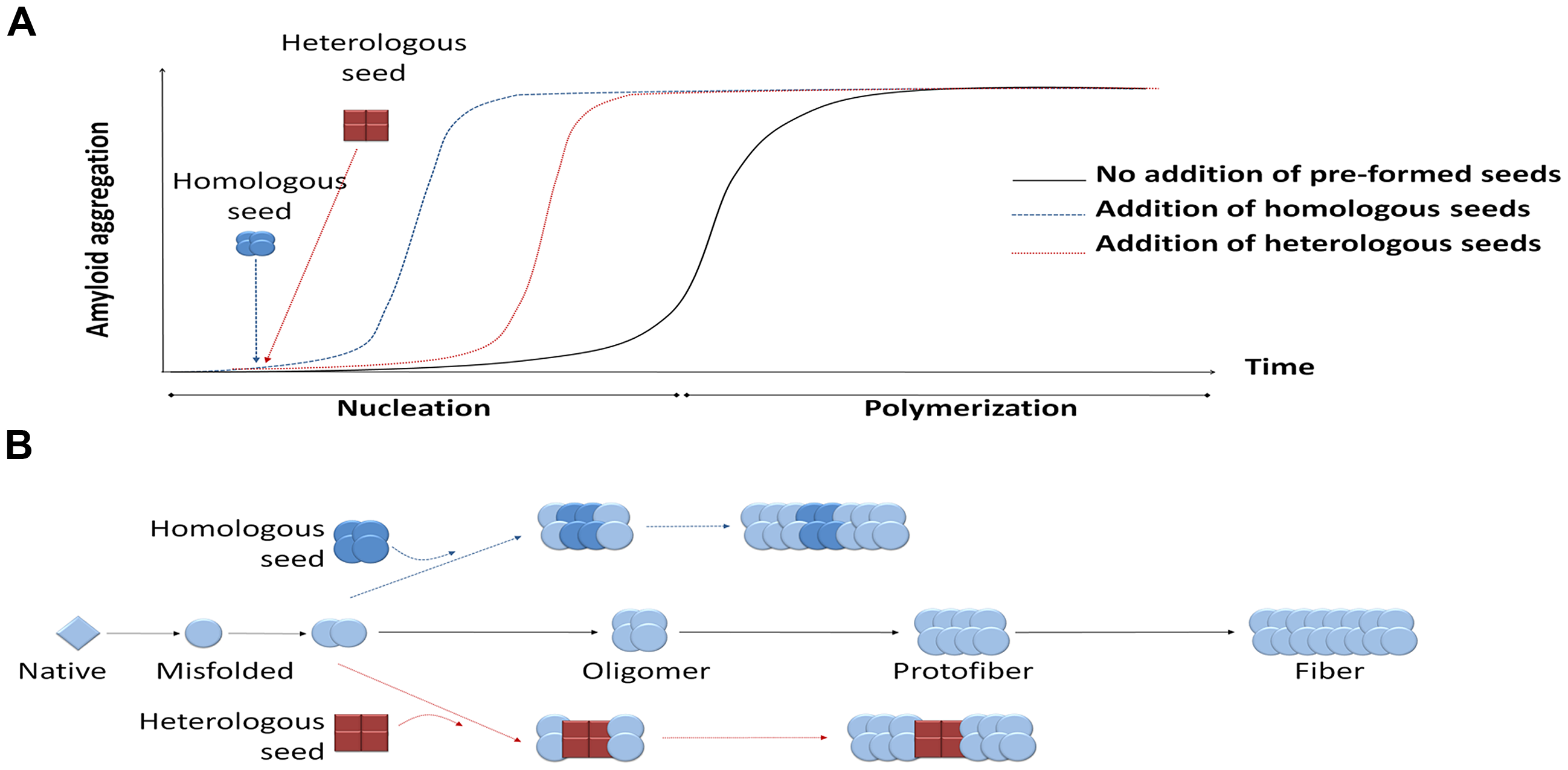 Seeding-nucleation model of protein aggregation and the cross-seeding phenomenon.