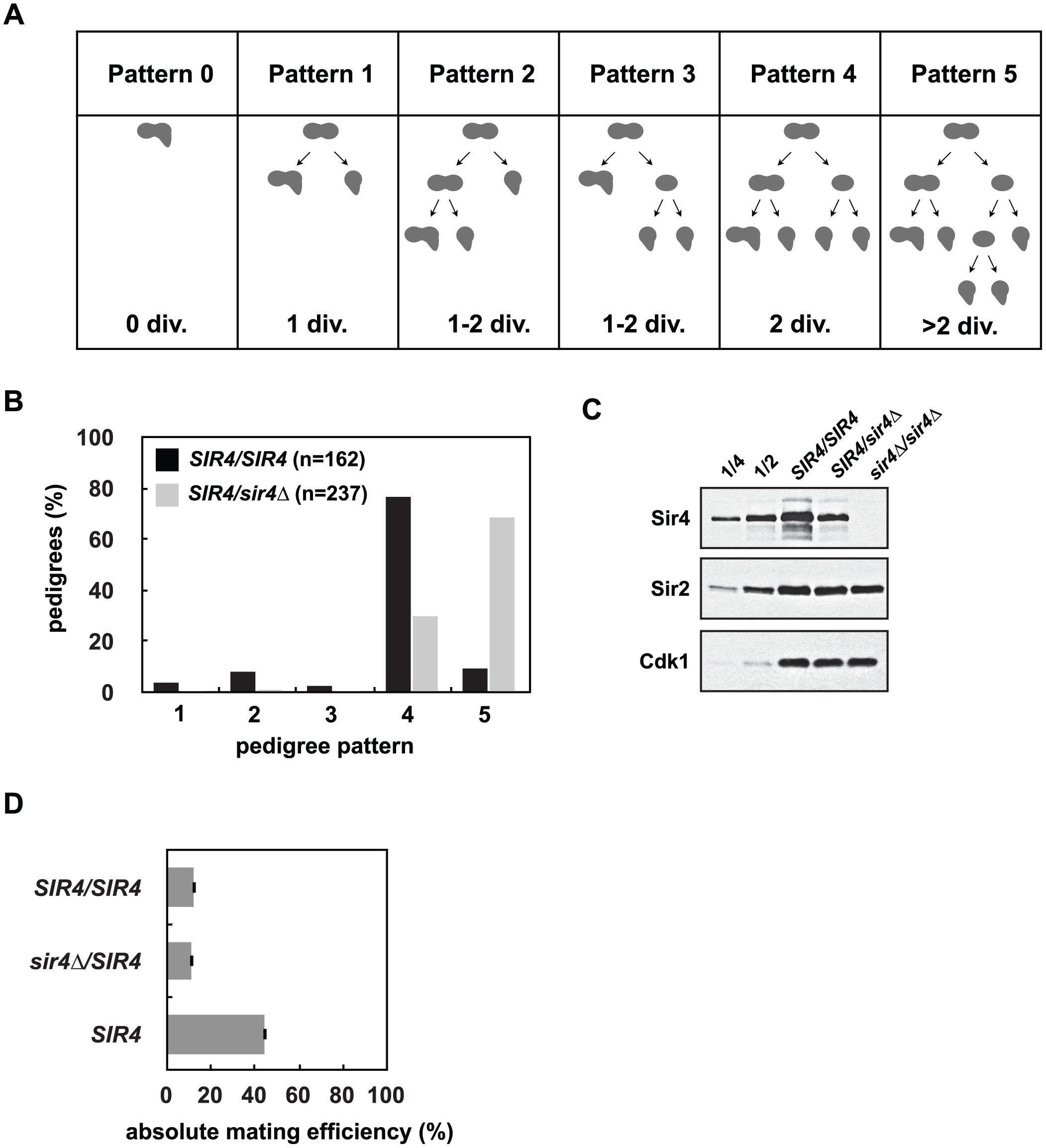 Reduced Sir4 abundance causes delays in <i>de novo</i> establishment of heterochromatin.