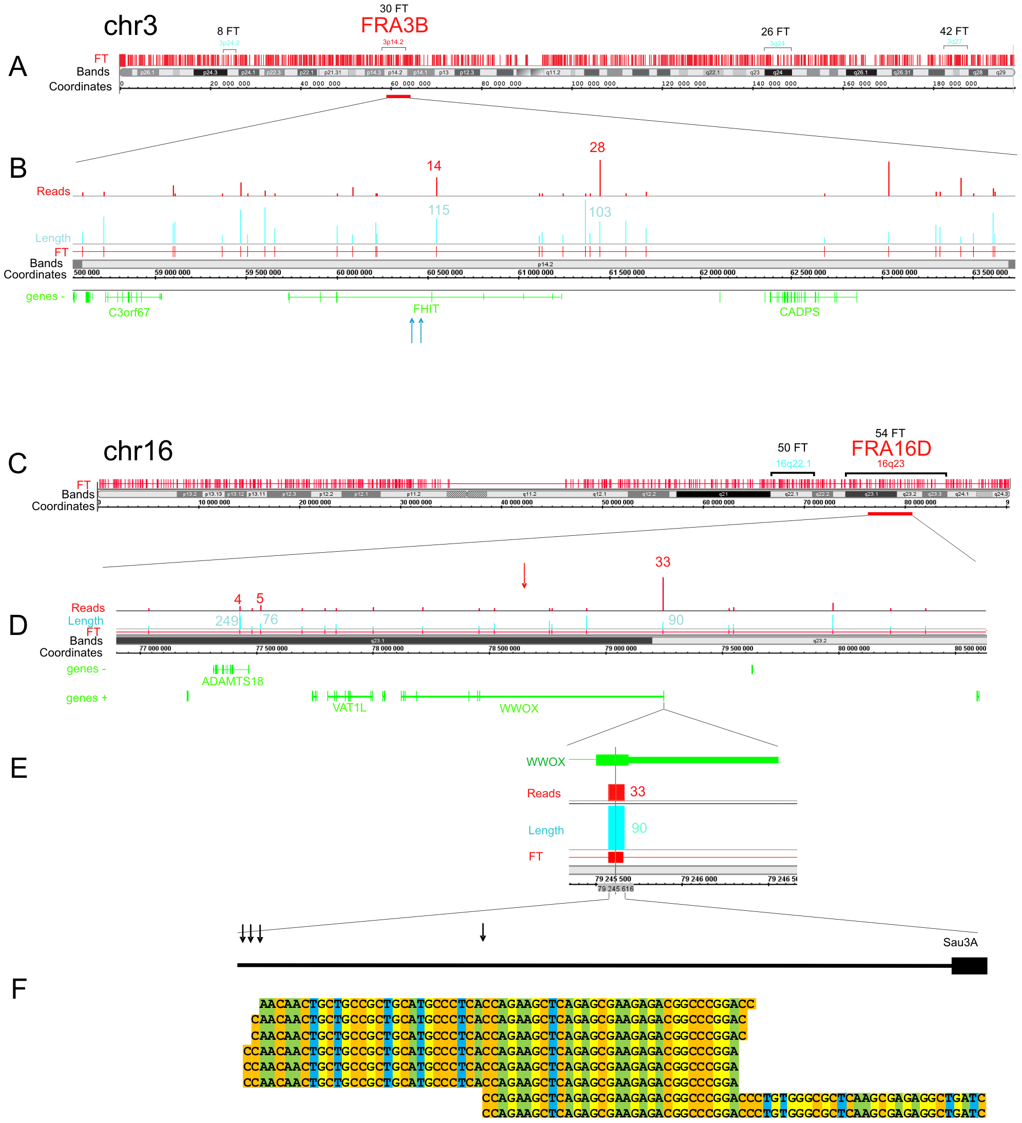 Overviews of chromosomes 3 and 16, which contain the FRA3B and FRA16D regions.