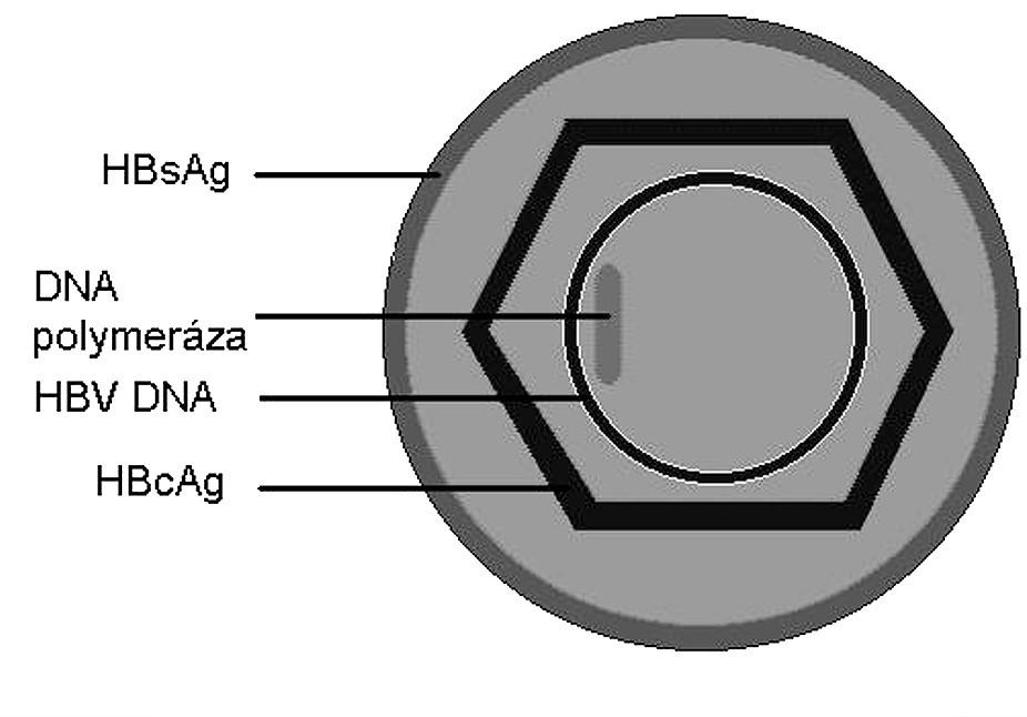 Struktura HBV (Daneova částice).