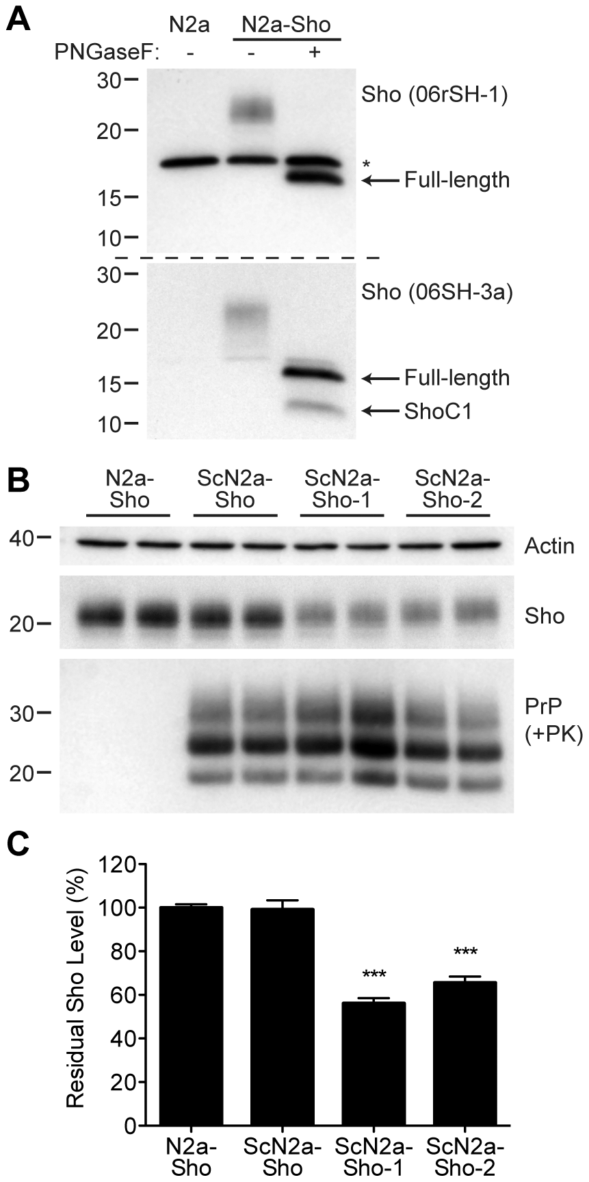 Decreased Sho levels in ScN2a-Sho cells.