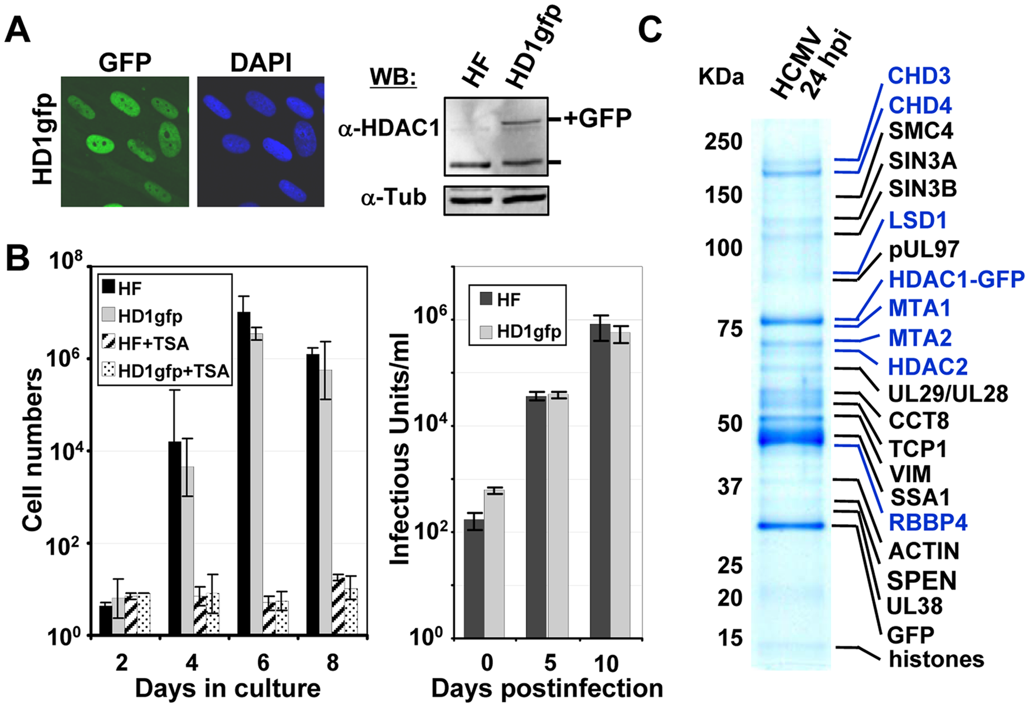 Identification of HDAC1-interacting proteins during HCMV infection.