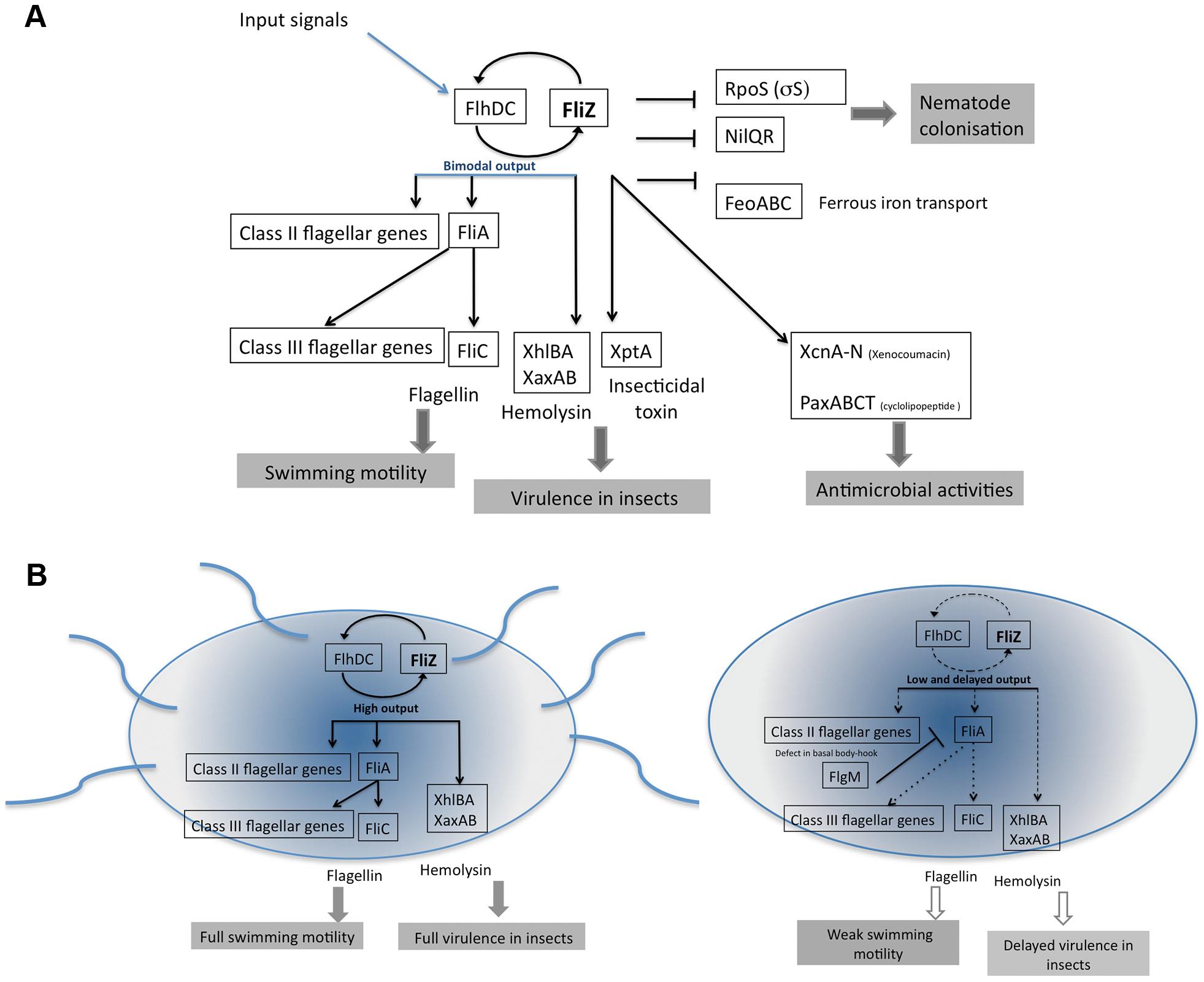 Model summarizing the FliZ regulon and FliZ-modulated cell heterogeneity in <i>X. nematophila</i>.
