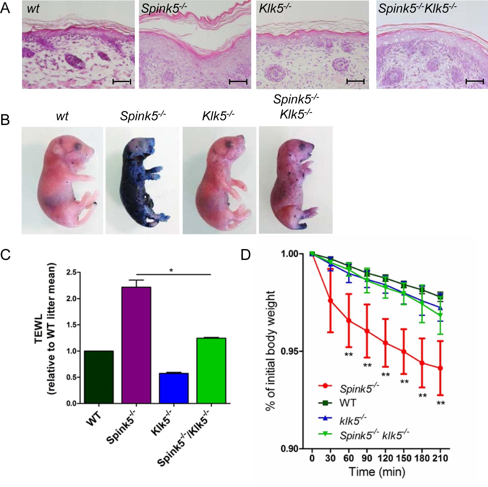 Skin barrier function is restored by Klk5 knockout.