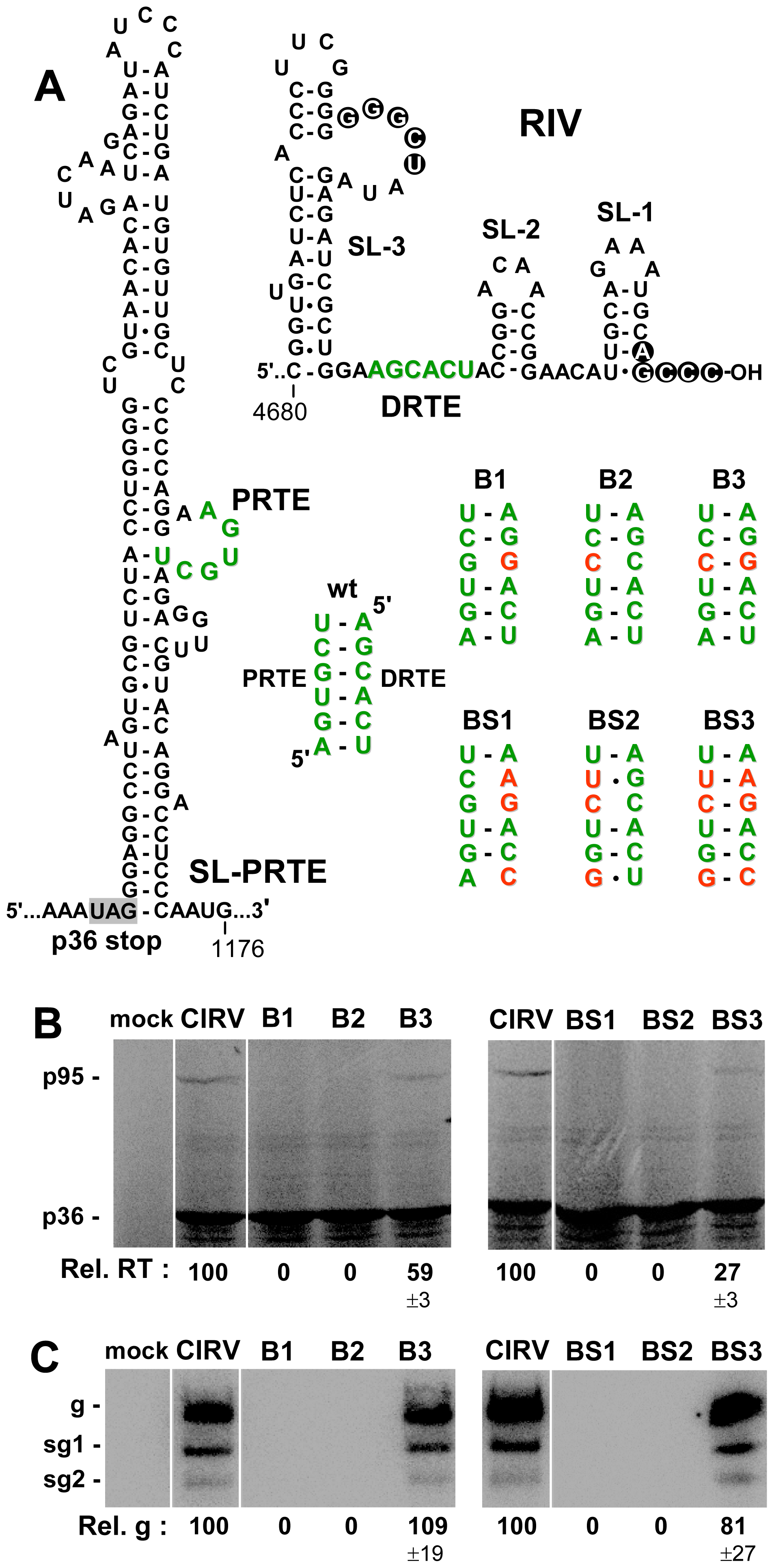 Role of the PRTE-DRTE interaction in mediating RT and genome replication.
