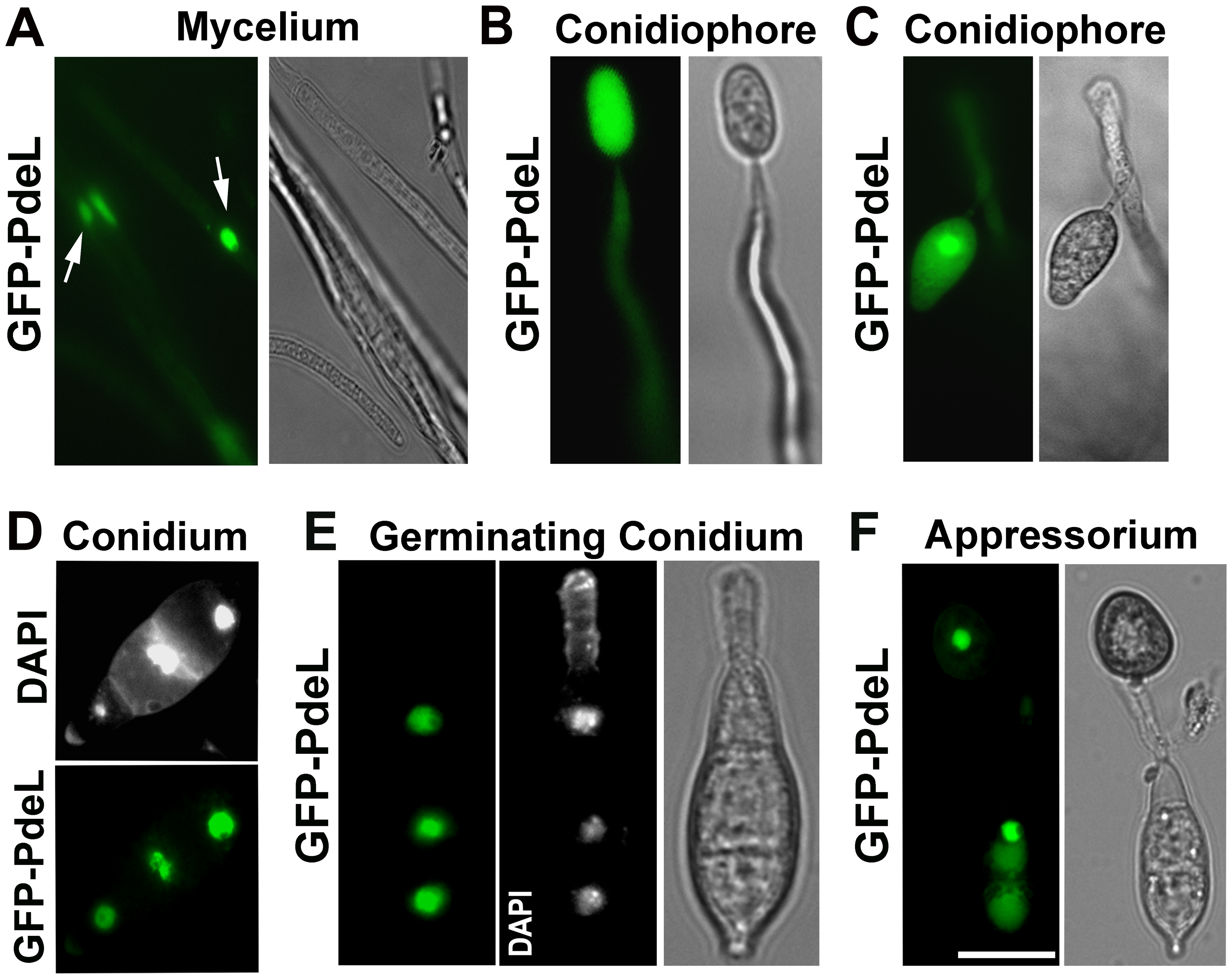 Predominant nuclear localization of the PRO<i><sub>Mpg1</sub></i>-GFP-PdeL during asexual and pathogenic development in <i>M. oryzae</i>.